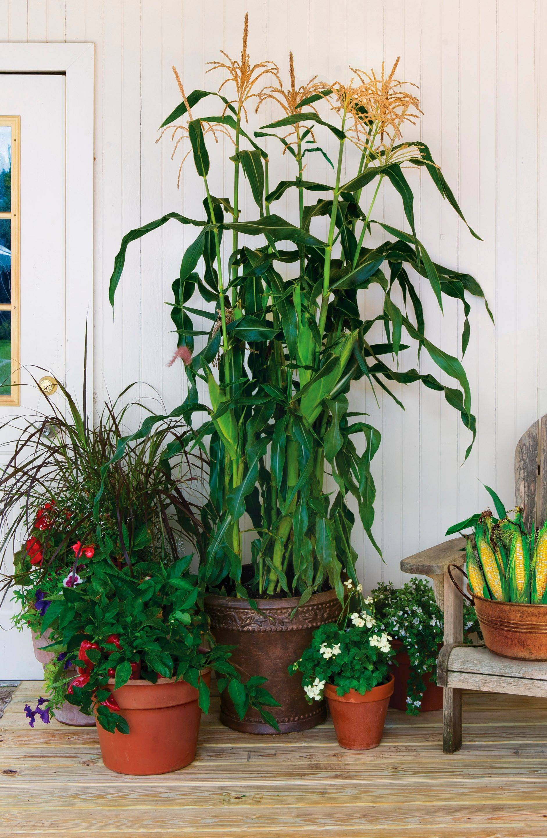 Sweet corn growing in a pot illustrates the possibilities with On Deck Sweet Corn by Burpee, which is developing several high-yield vegetables being grown for patios or tight spaces.