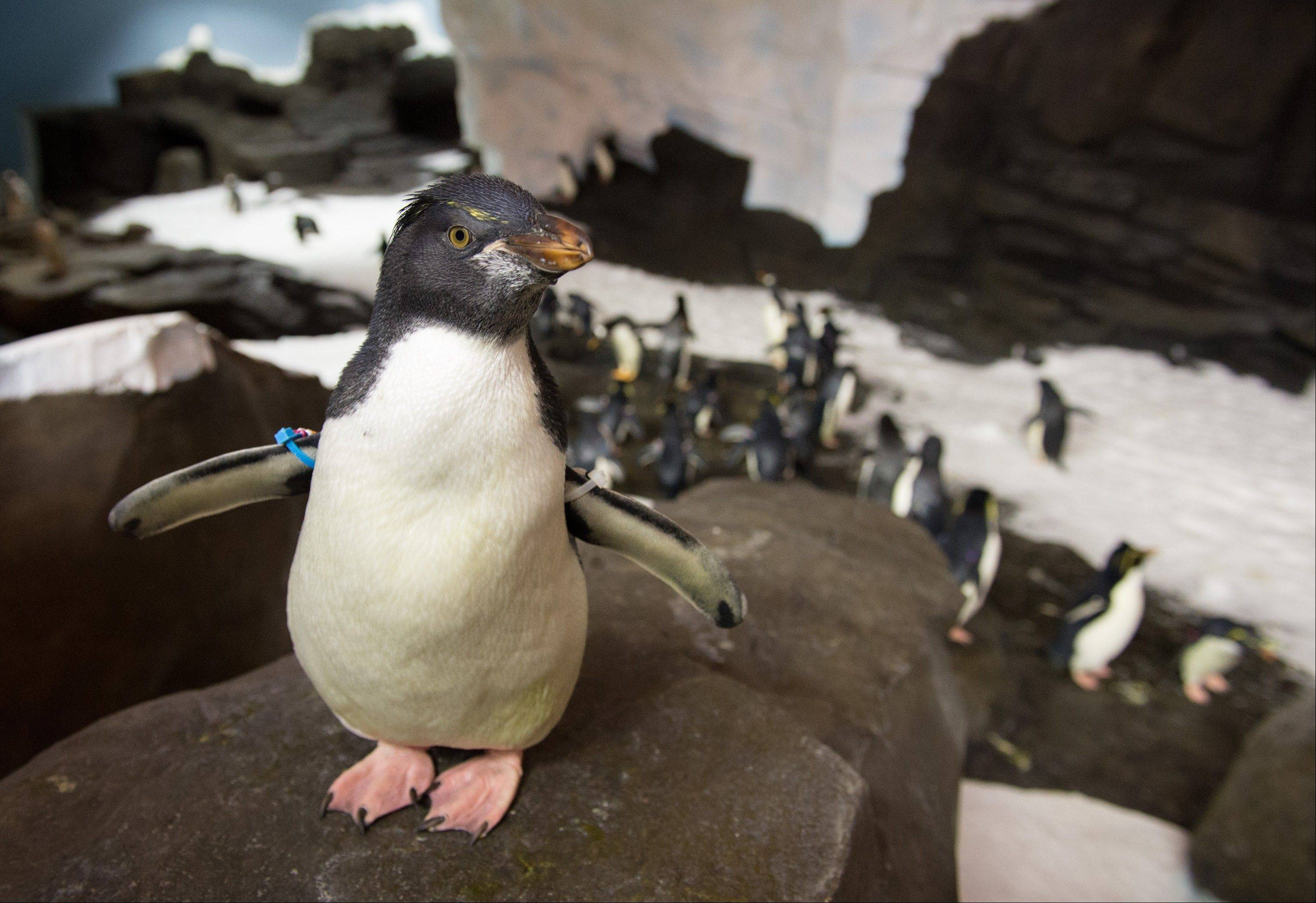 A rockhopper penguin is part of the new exhibit at SeaWorld Orlando.