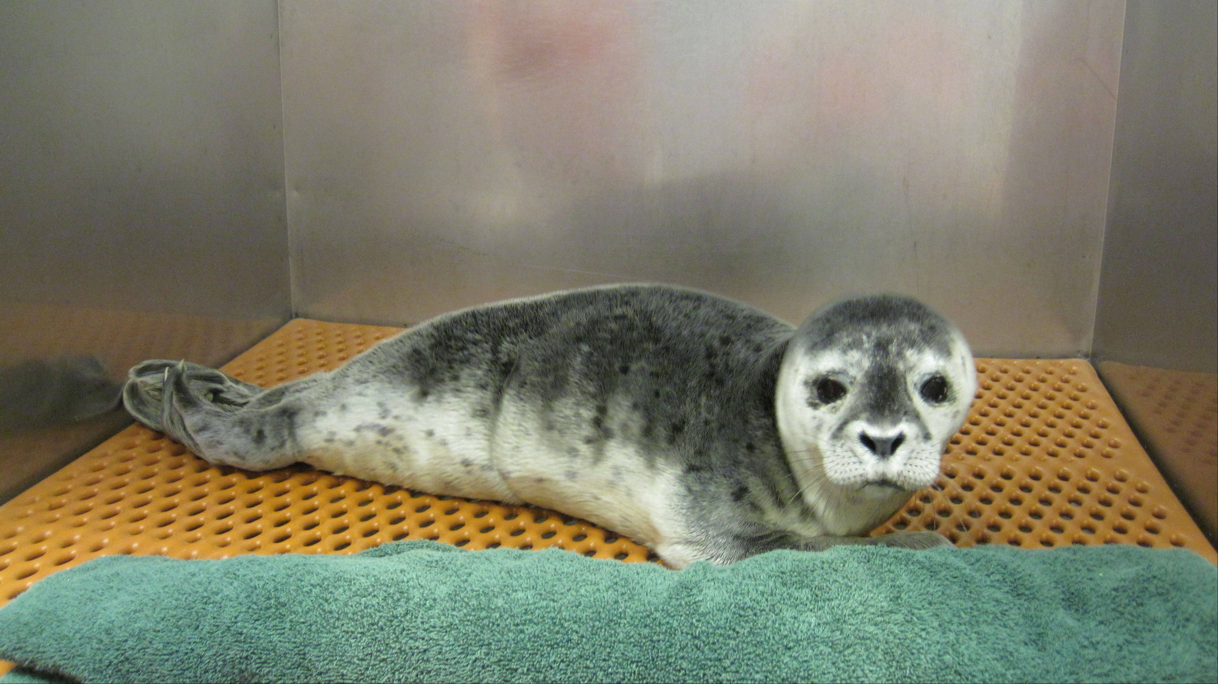 A female Harbor seal pup rests on a mat Saturday in the Riverhead Foundation facility at the Long Island Aquarium in Riverhead, N.Y.