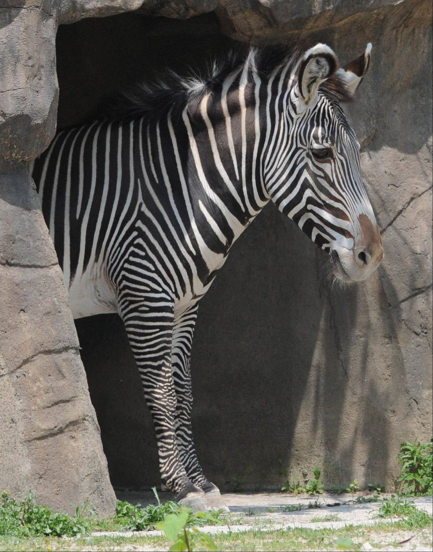 Zebras have stripes to help them blend into their surroundings in the wild.