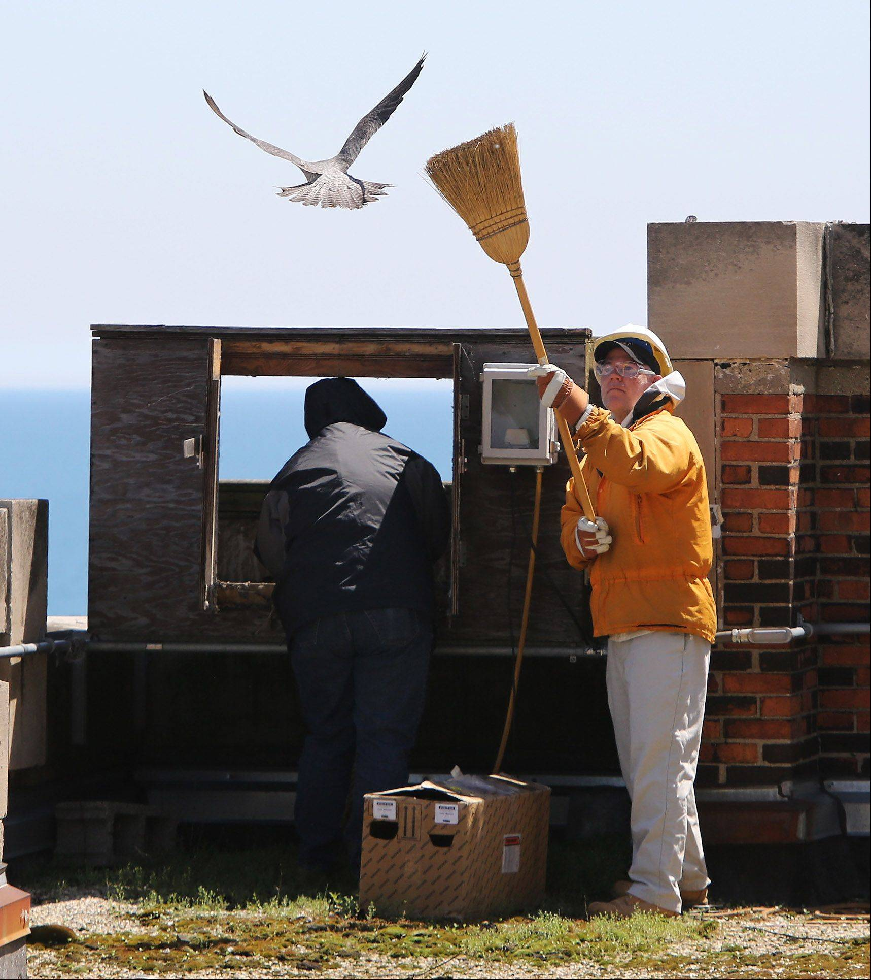 Matt Gies, of the Shedd Aquarium, holds a broom as a diversion to protect Mary Hennen, of the Field Museum of Natural History, from swooping falcons. The pair had to remove the chicks from a man-made nest at the Waukegan Generating Station for banding, while ducking the concerned parents.