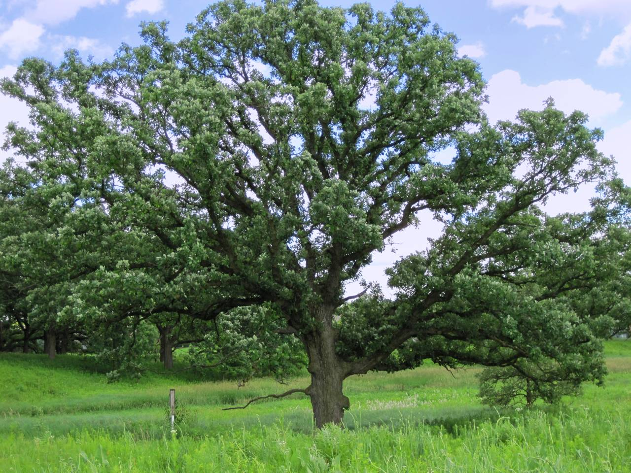 Magnificent Burr Oak