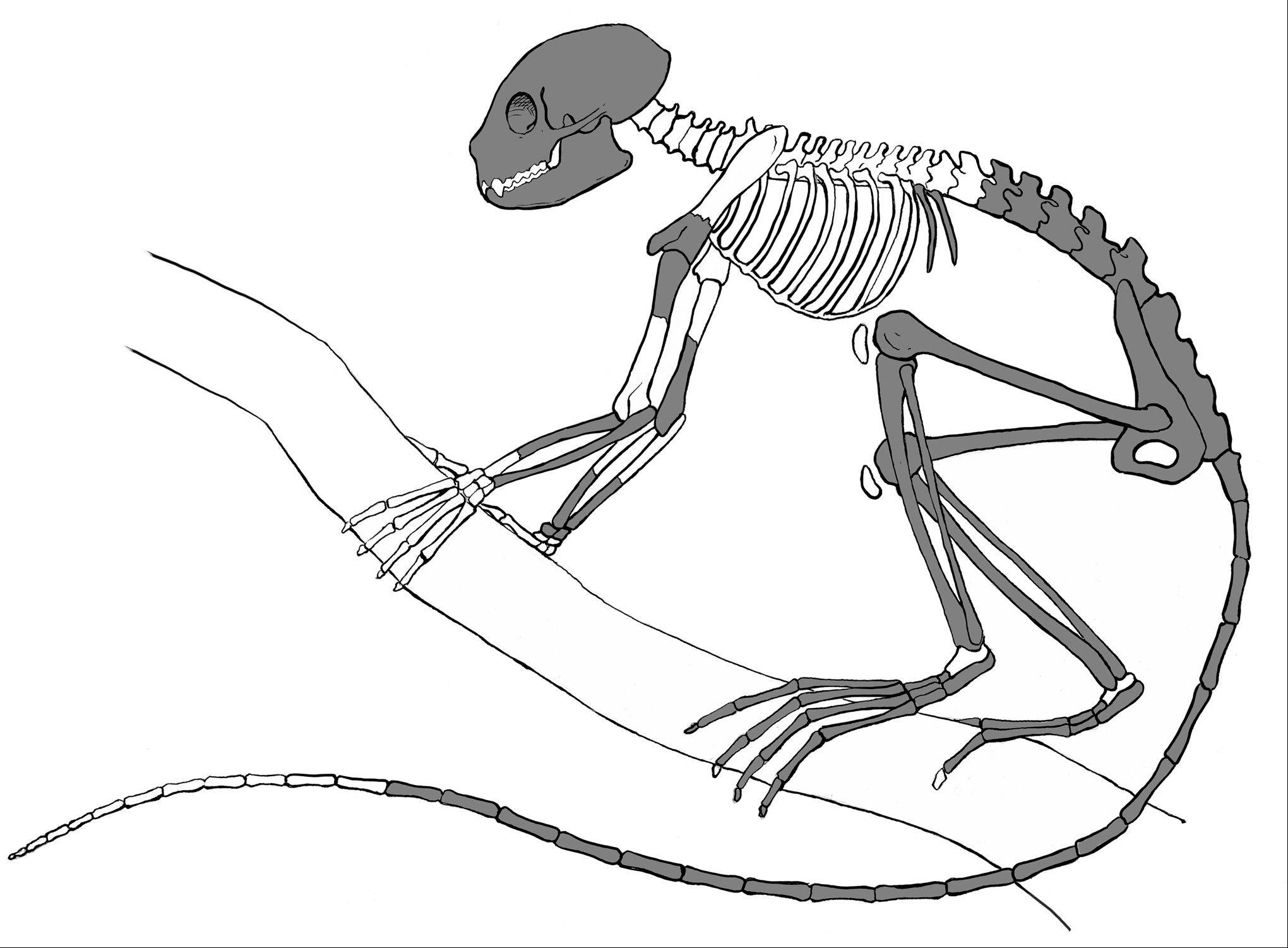 An artist's illustration of the skeleton of Archicebus achilles. The darkened bones represent the known bony elements of the skeleton found in China. Northern Illinois University professor Dan Gebo, of Elgin, was part of the international team that discovered the tiny, 55 million-year-old primate.