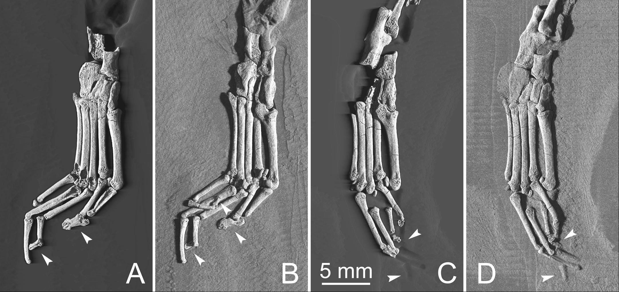 Several views of the foot region of Archicebus achilles. Northern Illinois University professor Dan Gebo, of Elgin, was part of the international team that discovered the tiny, 55 million-year-old primate.
