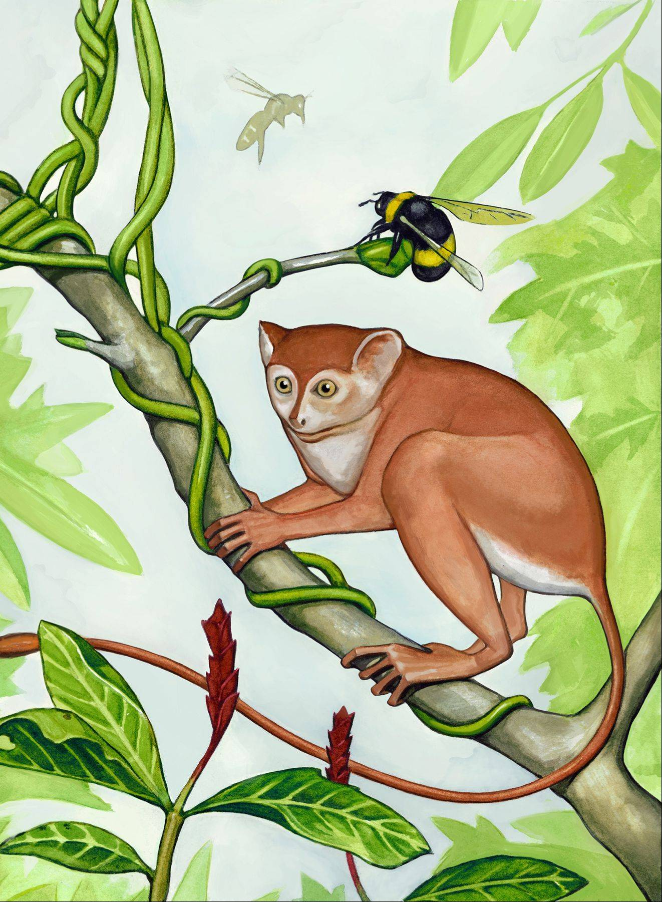 An artist's conception of what the newly discovered primate, Archicebus achilles, might have looked like. Northern Illinois University professor Dan Gebo, of Elgin, was part of the international team that discovered the tiny, 55 million-year-old primate.
