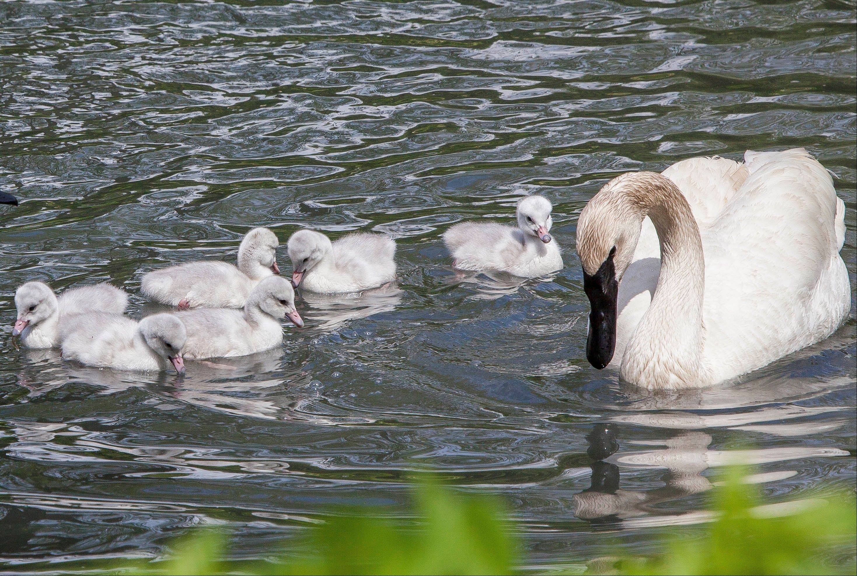 The six trumpeter swan cygnets that were hatched at the zoo Wednesday swim with one of their parents.