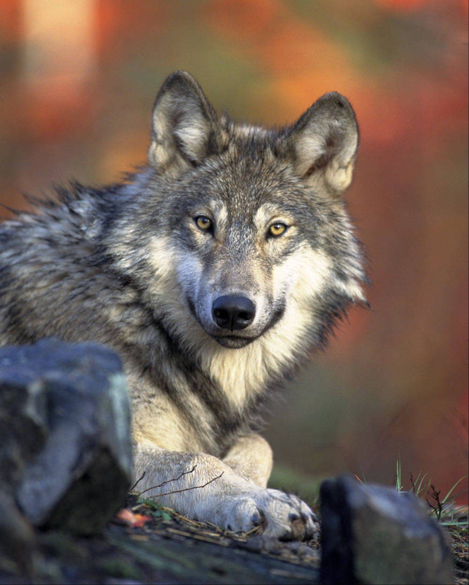 The U.S. Fish and Wildlife Service shows a gray wolf on U.S. soil. The Obama administration on Friday, June 7 proposed lifting most of the remaining federal protections for gray wolves across the mainland states.