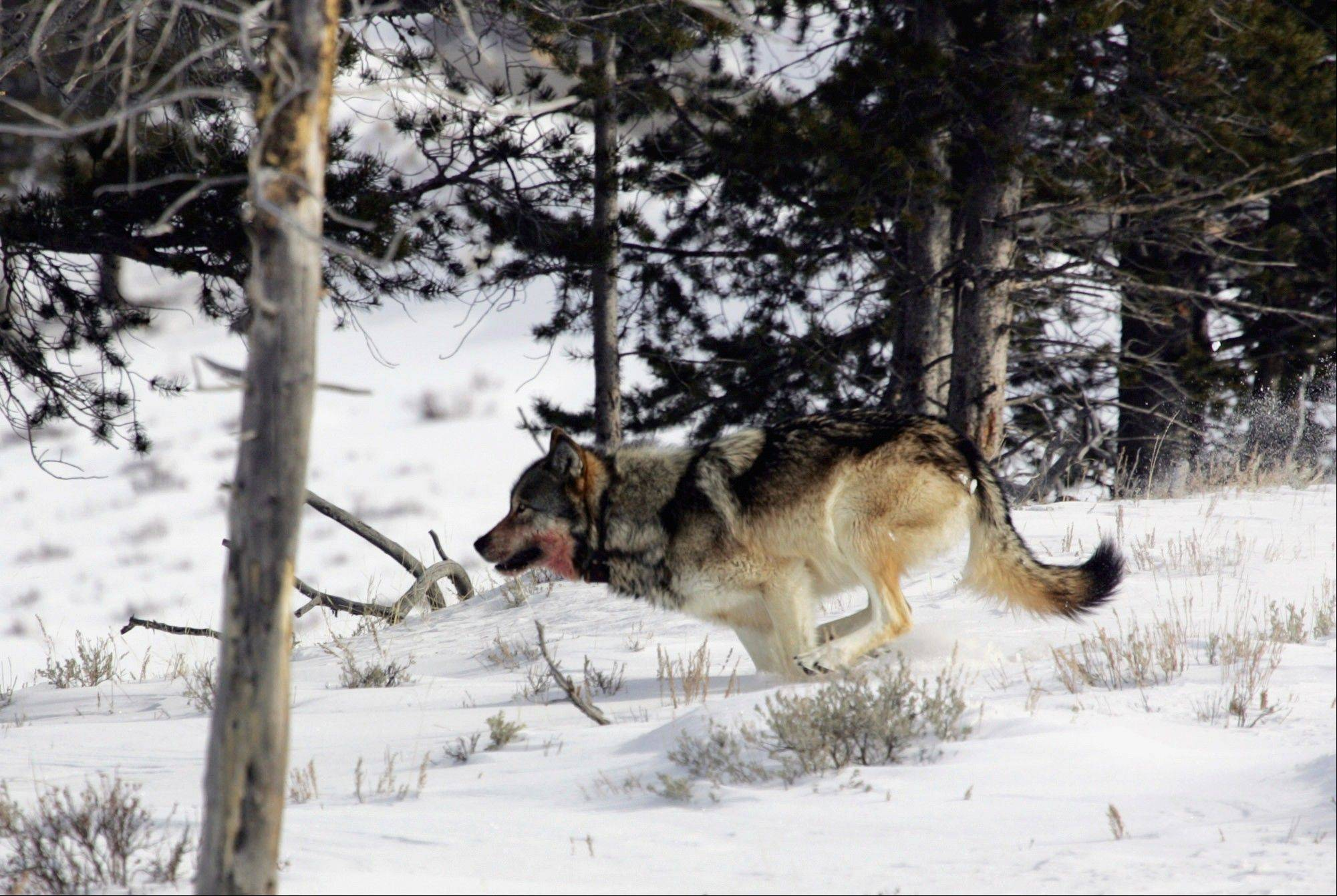 Associated Press/Feb. 16, 2006A gray wolf runs near Blacktail Pond in Yellowstone National Park in Park County, Wyo.