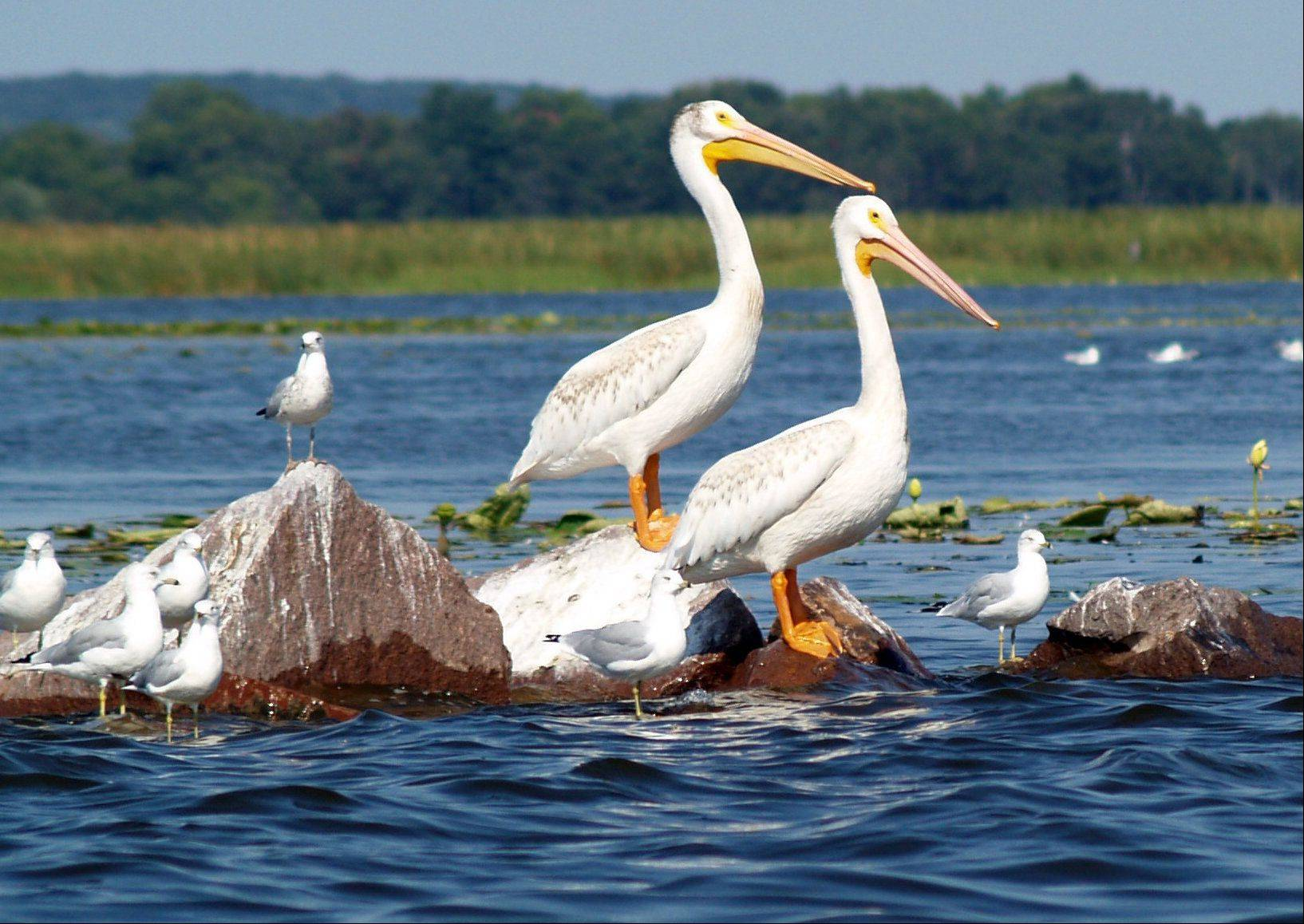 Several pelicans congregate on some rocks with gulls in Lake Puckaway in Princeton, Wisconsin.