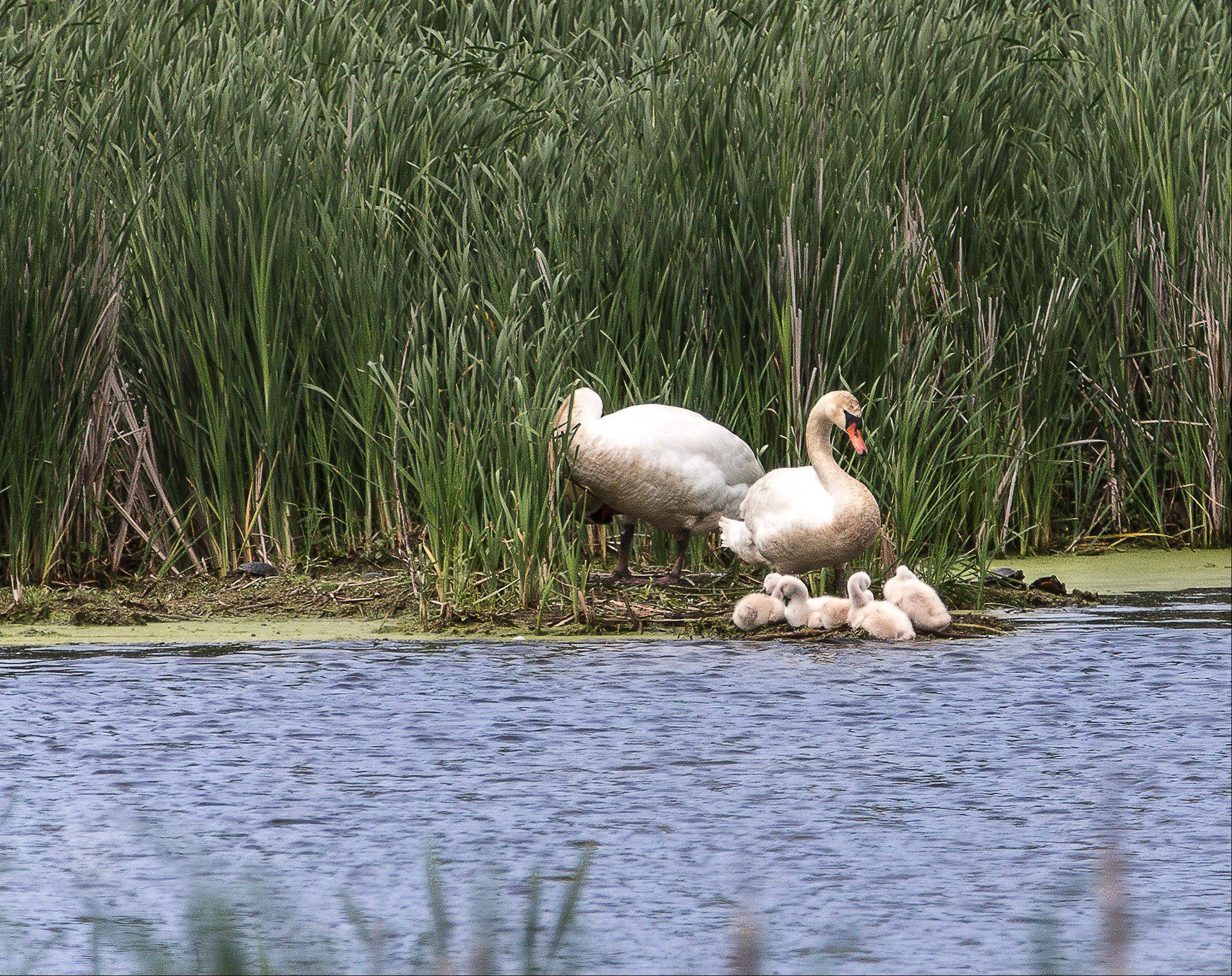A pair of mute swans and their four chicks, called cygnets, at a pond along Nippersink Road in Round Lake on May 13th.