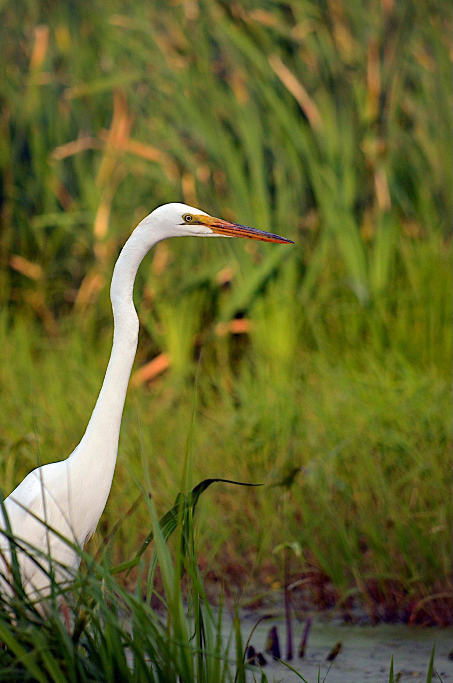 A beautiful egret hunts for a meal at the Volo Bog State Natural Area in June 2012.