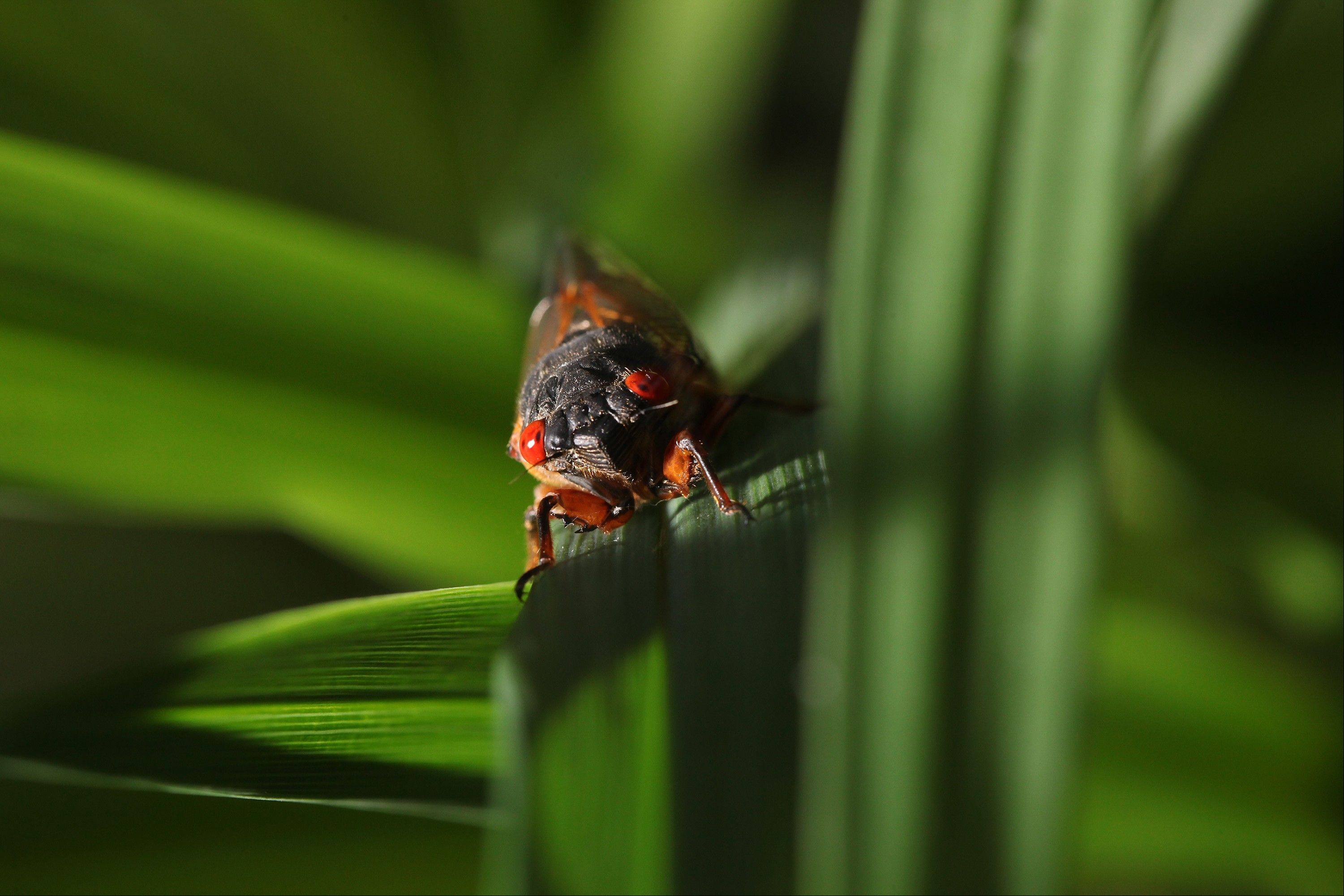 After 17 years of living underground, millions of cicadas are emerging on the U.S. East Coast.