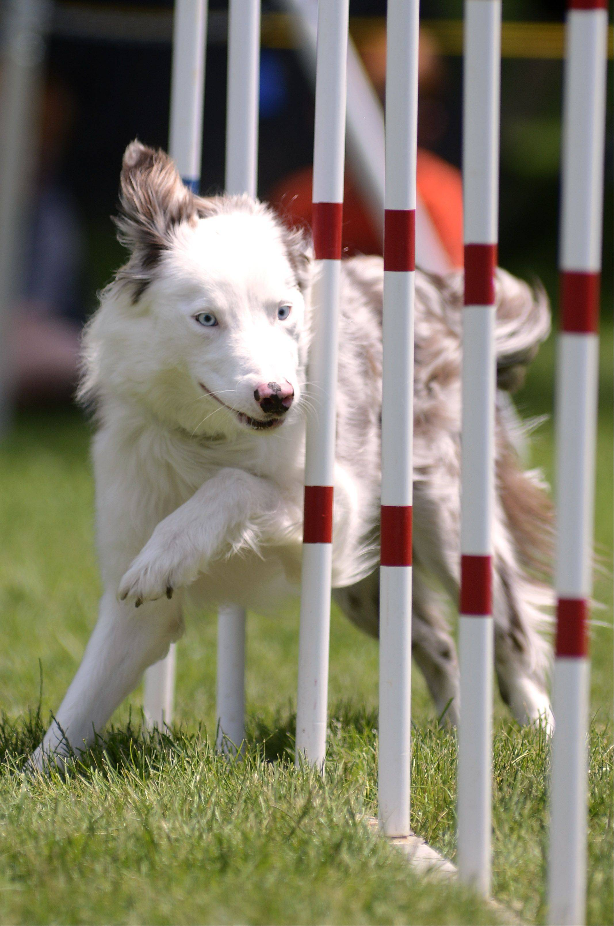 Two-year-old Border Collie, Zip!, zigzags through the obstacle course while demonstrating for Superdogz agility and dog obedience at the St. Charles RiverFest on Saturday. Superdogz, formed in 2004, is based in Sugar Grove.