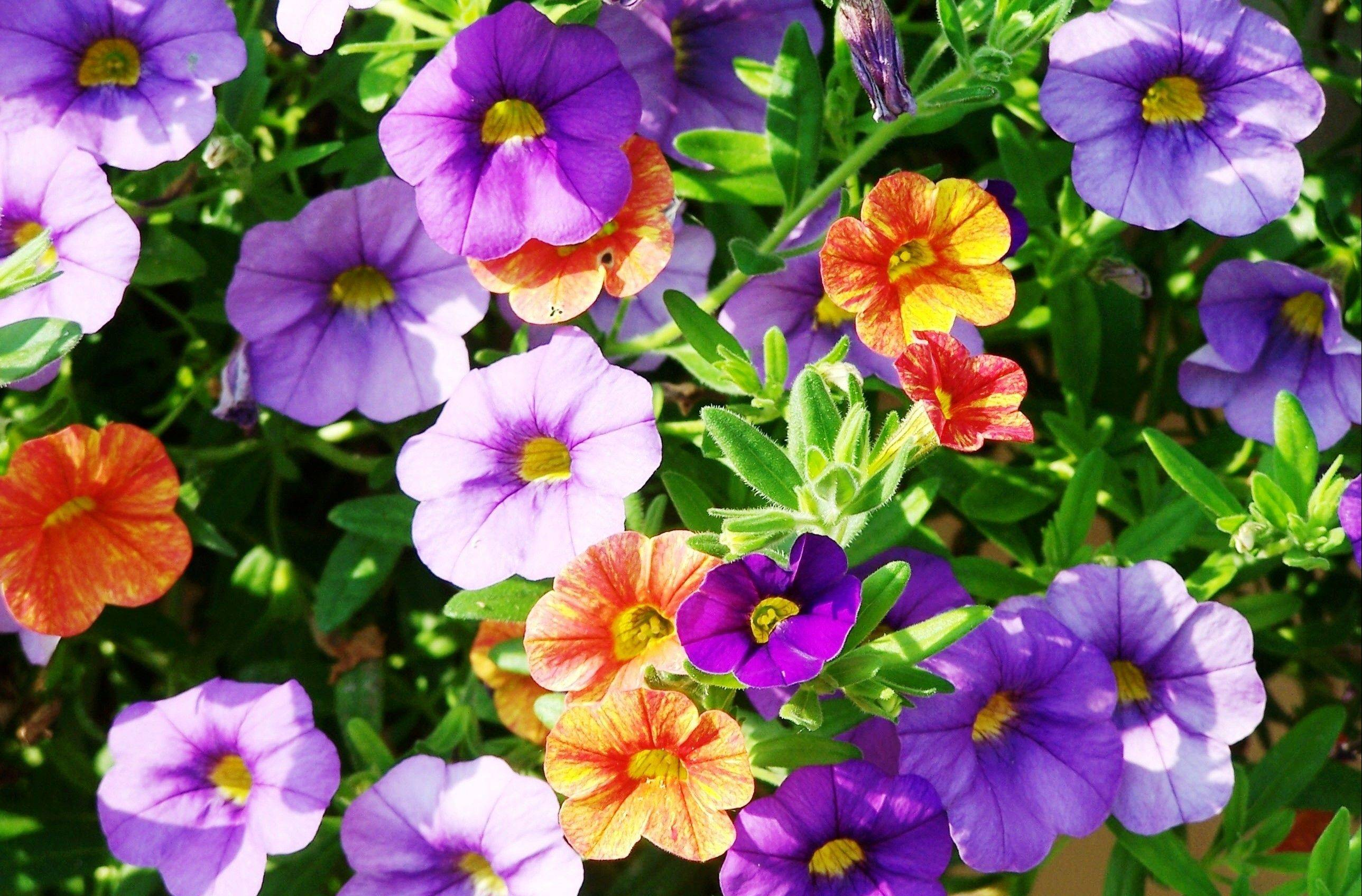 Calibrachoa flowers are perfect for containers as they trail over the edge.