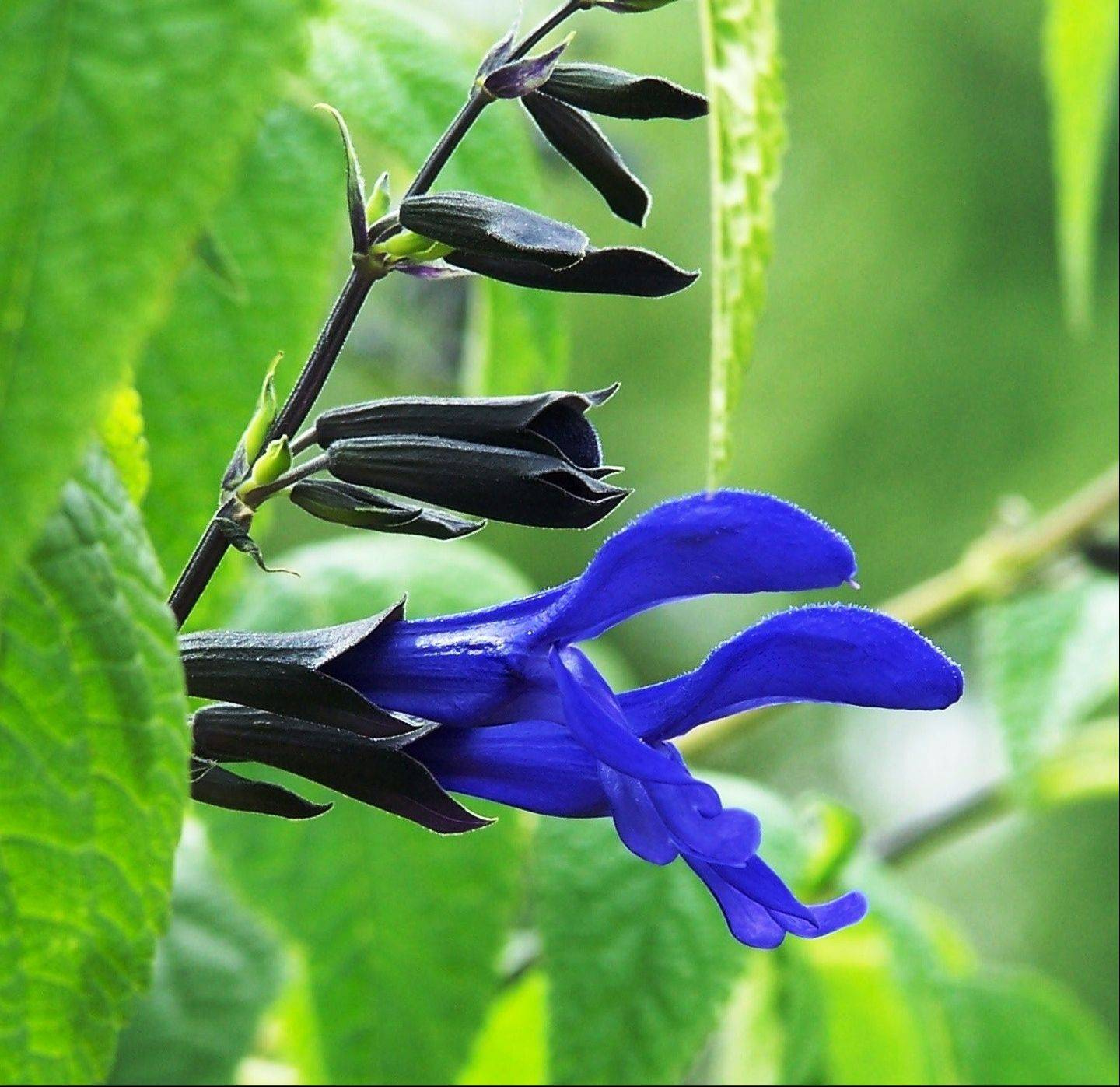 The tubular flowers of black and blue Salvia are a hummingbird's favorite.