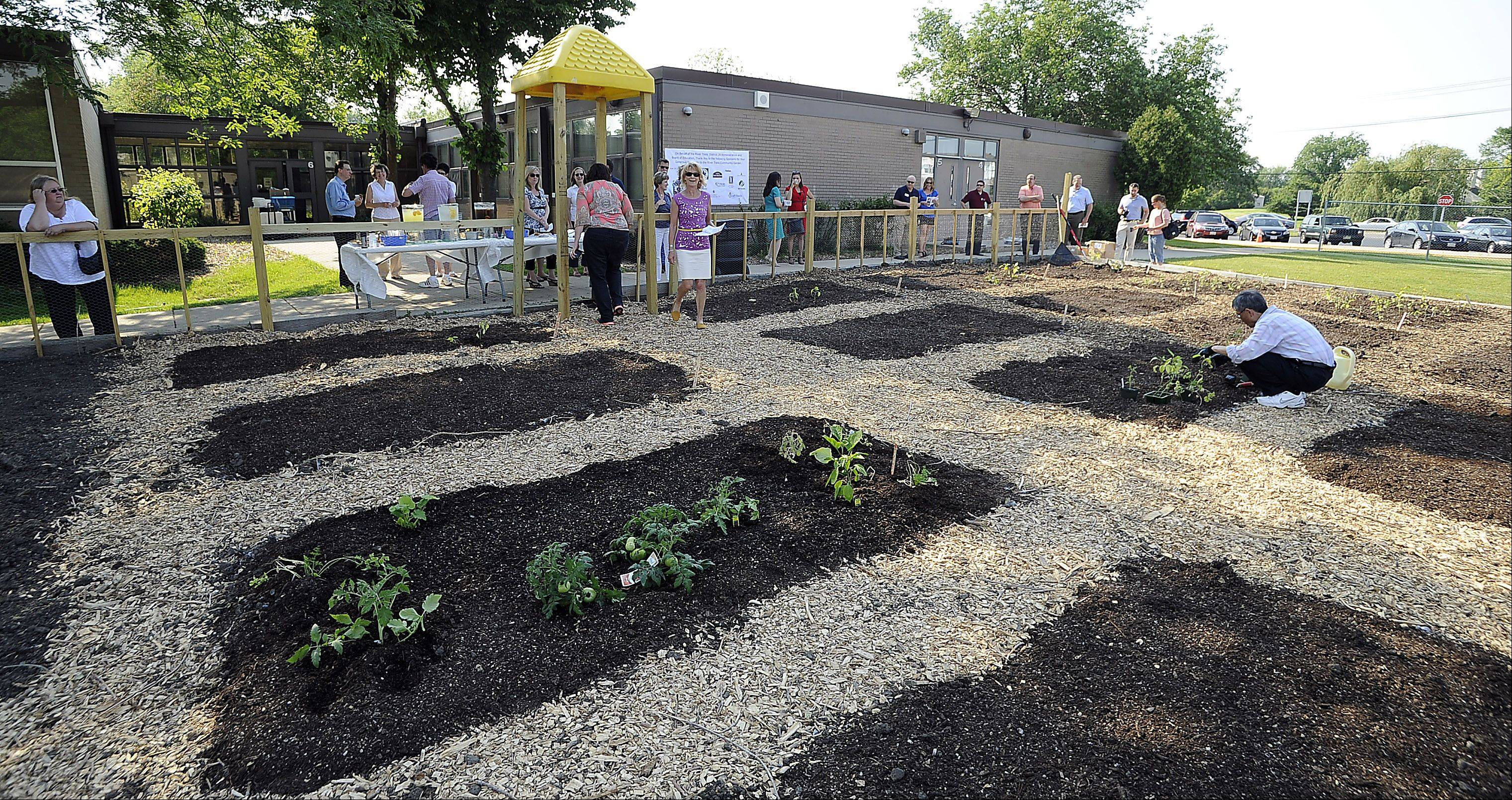 "Kiyota ""K"" Takeuchi of the Mount Prospect Chamber of Commerce plants his garden as the After-Hours Networking Event celebrating their new community and school garden at Euclid Elementary School unfolds Thursday."