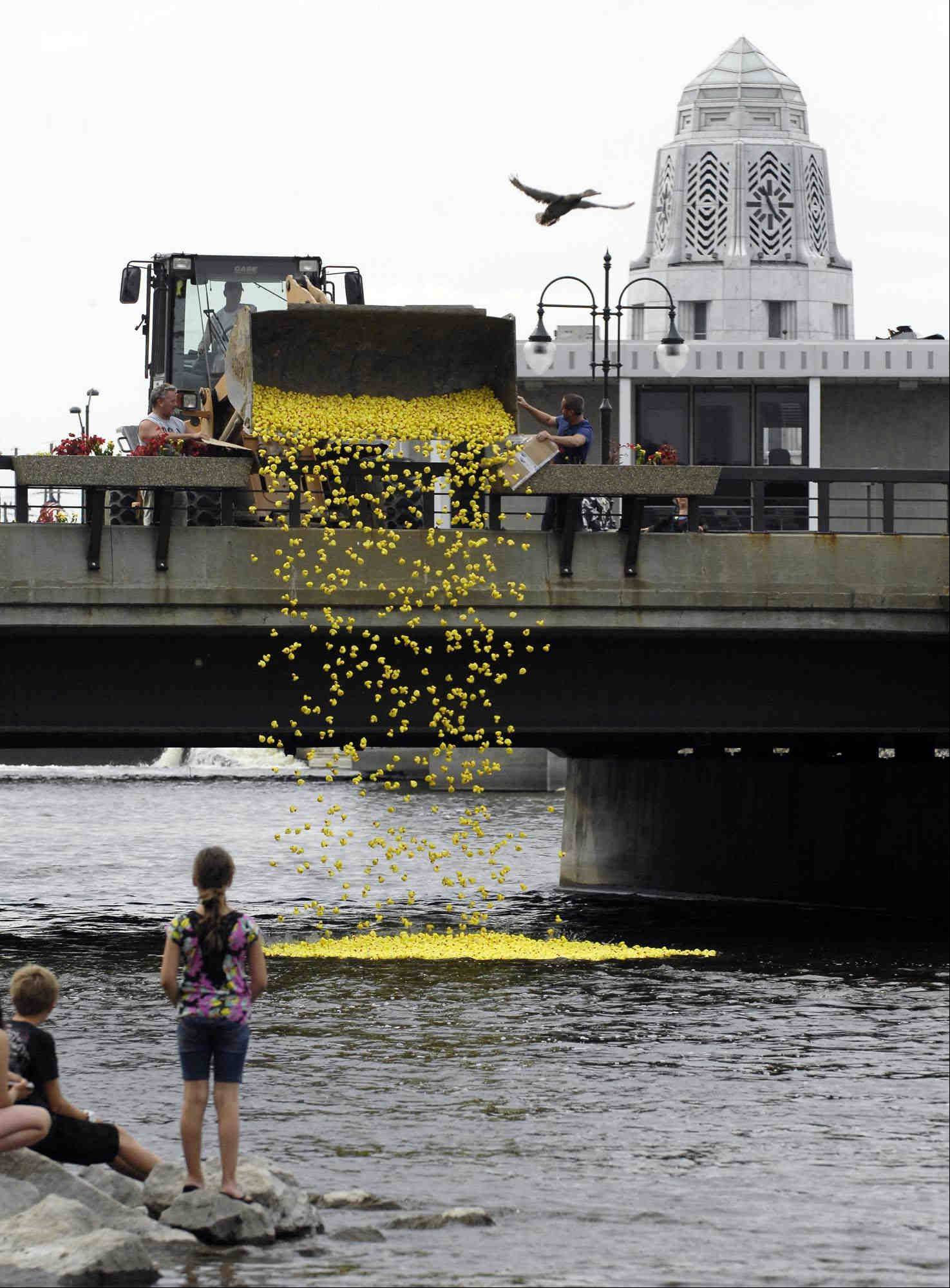 A real mallard flies away as 3,000 plastic ducks are poured into the Fox River from the Illinois Street bridge Sunday during the Ducky Derby at the City of St. Charles Riverfest. The ducks were sold to benefit school district 303 Prevention Clubs and St. Charles Rotary Club scholarships.