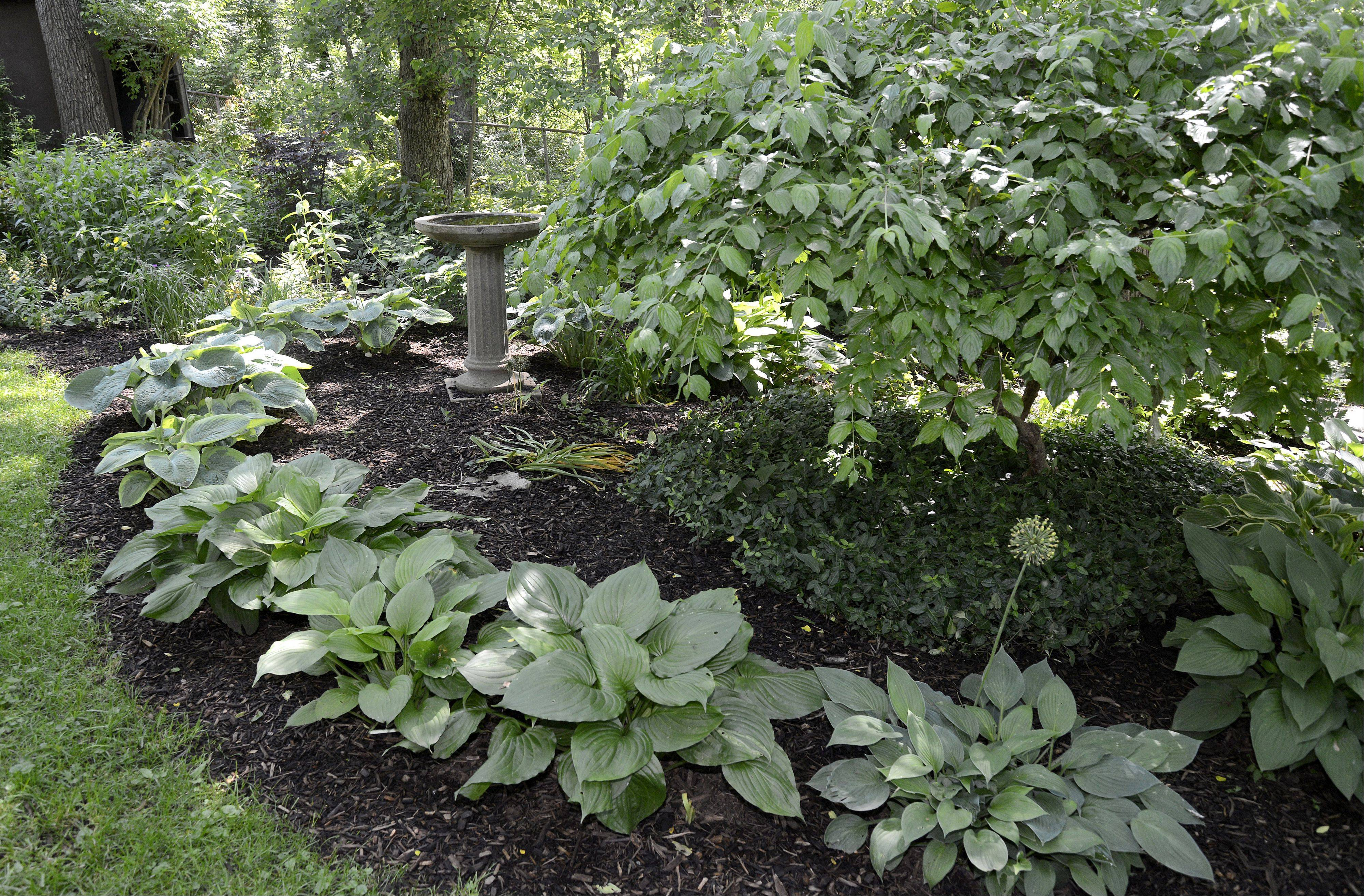 "Dozens of hosta varieties grow in the gardens of Mary Ann and Ron Gilkerson's Batavia home. See these, and other gardens on the Batavia Plain Dirt Gardeners ""Gardens of De-Light and Shade"" garden walk on Saturday, June 22."