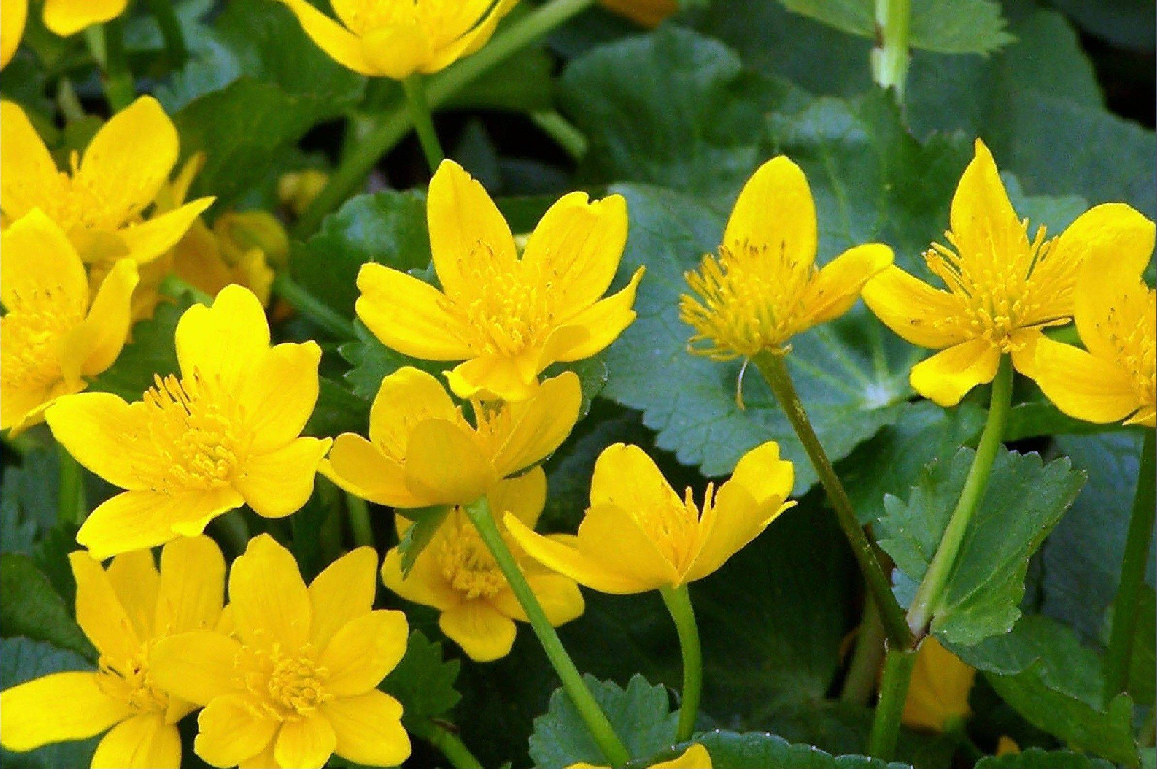 The bright yellow flowers of marsh marigolds brighten a moist area.