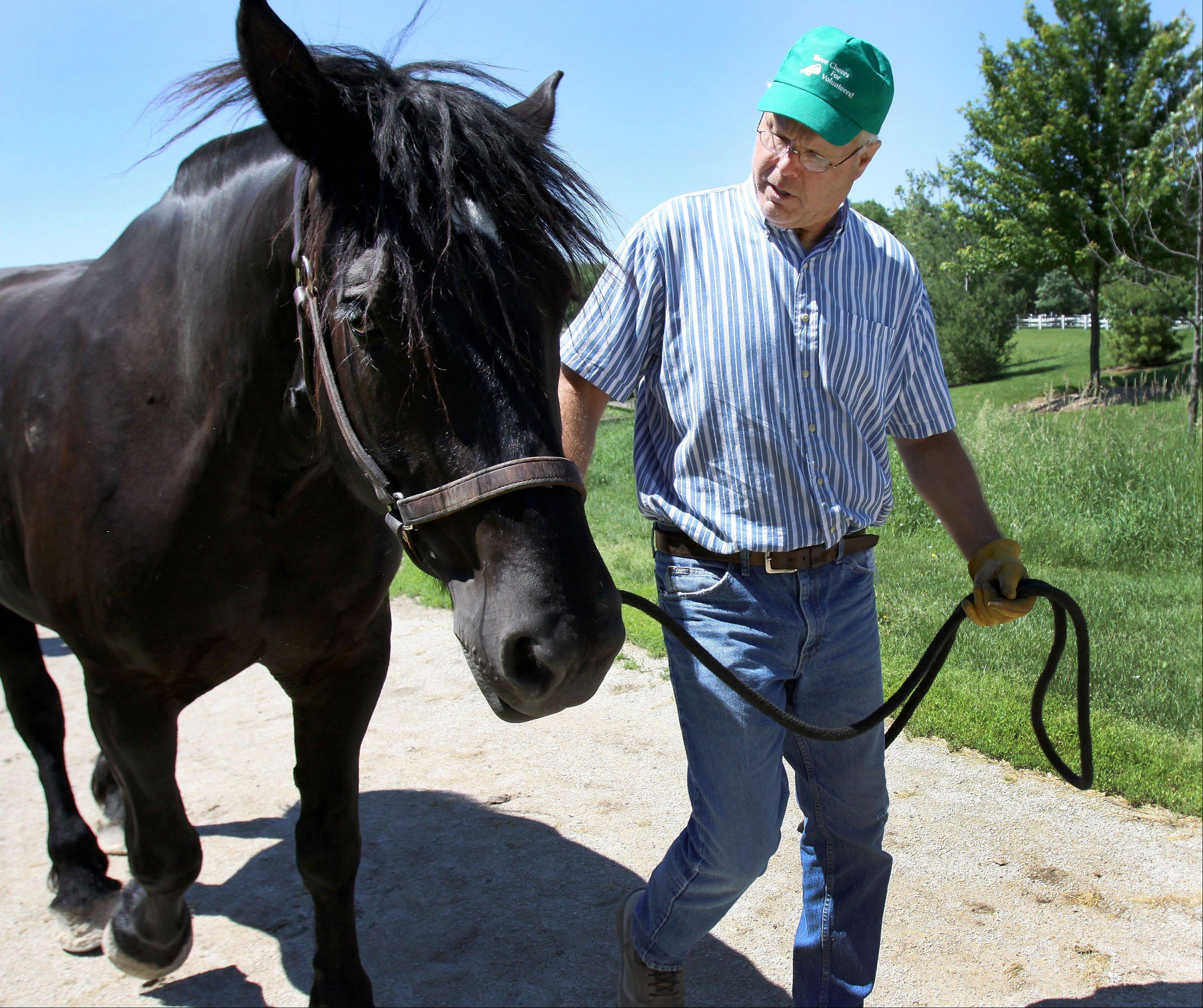 Ron Steele of Naperville, a volunteer at Danada Equestrian Center in Wheaton, walks Ike, one of the horses at the center, to the barn Thursday. A recent investigation of the center found no signs of abuse or neglect of the horses.