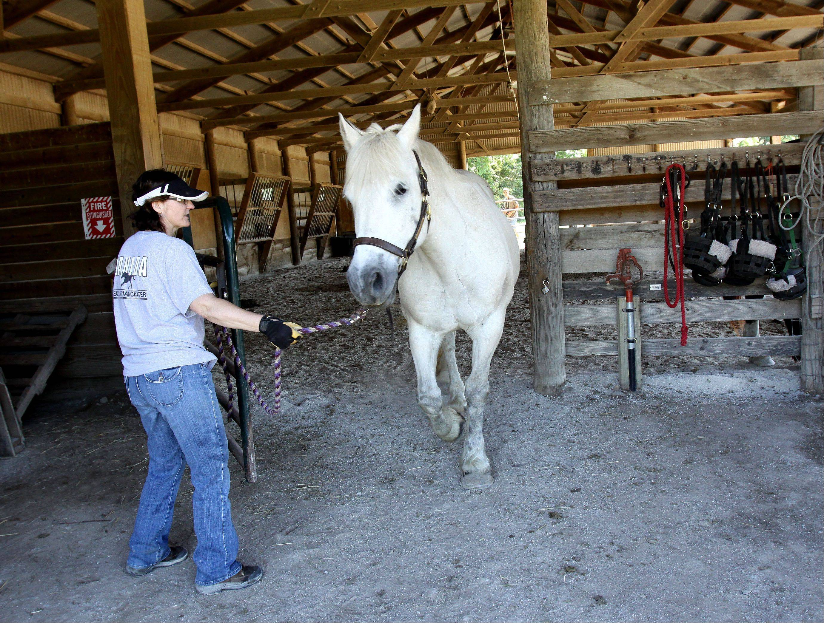 Volunteer Gail Sieve of Lisle brings Shasta out of one of the barns at Danada Equestrian Center in Wheaton. A recent investigation of the center found no signs of abuse or neglect of the horses.