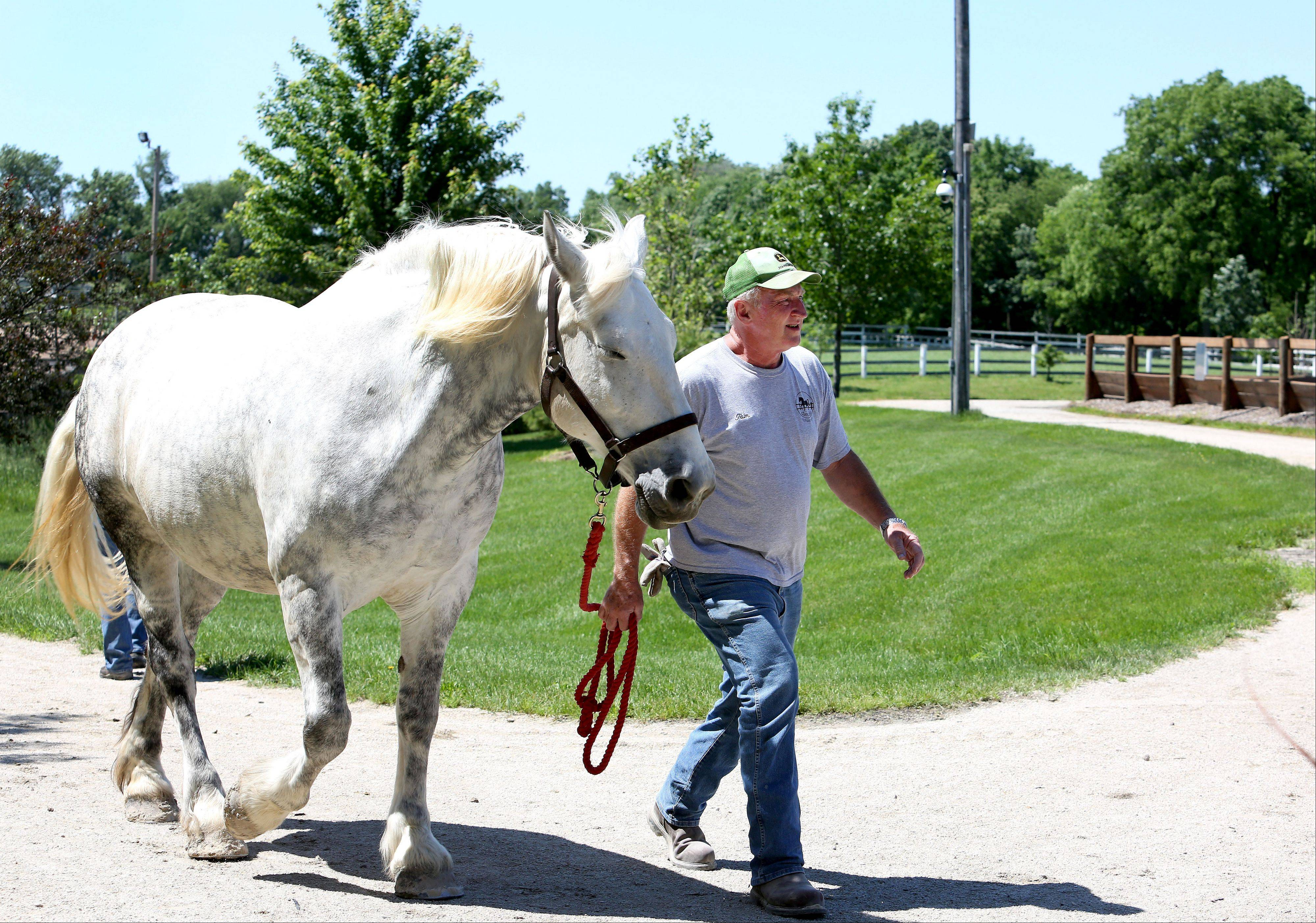 Danada Equestrian Center volunteer Tom Sharkey of Wheaton walks Kassie up to the barn Thursday at the Wheaton facility. A recent investigation of the center found no signs of abuse or neglect of the horses.
