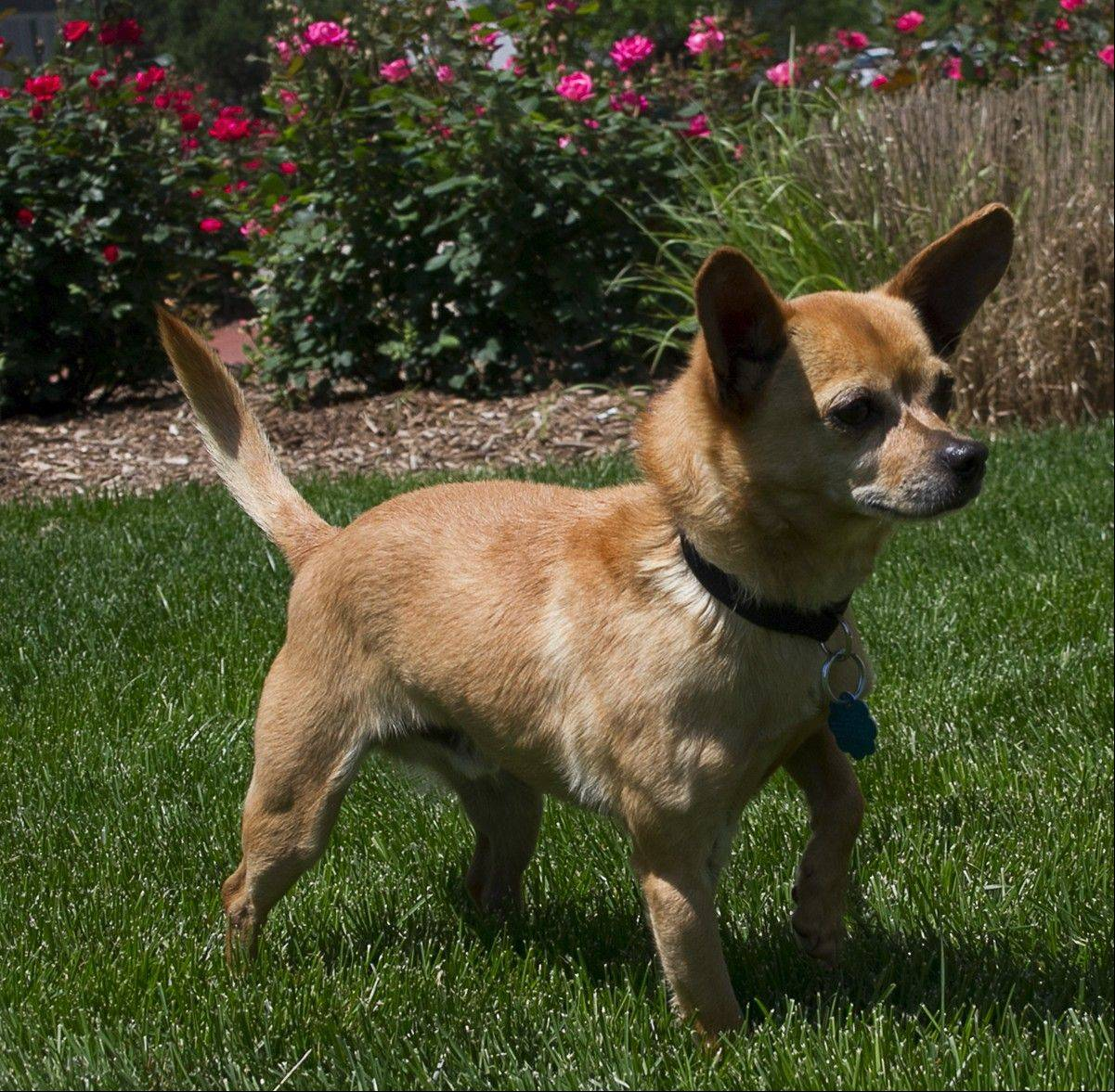 Jorge, a male, 11-pound Chihuahua, is about 7 years old.