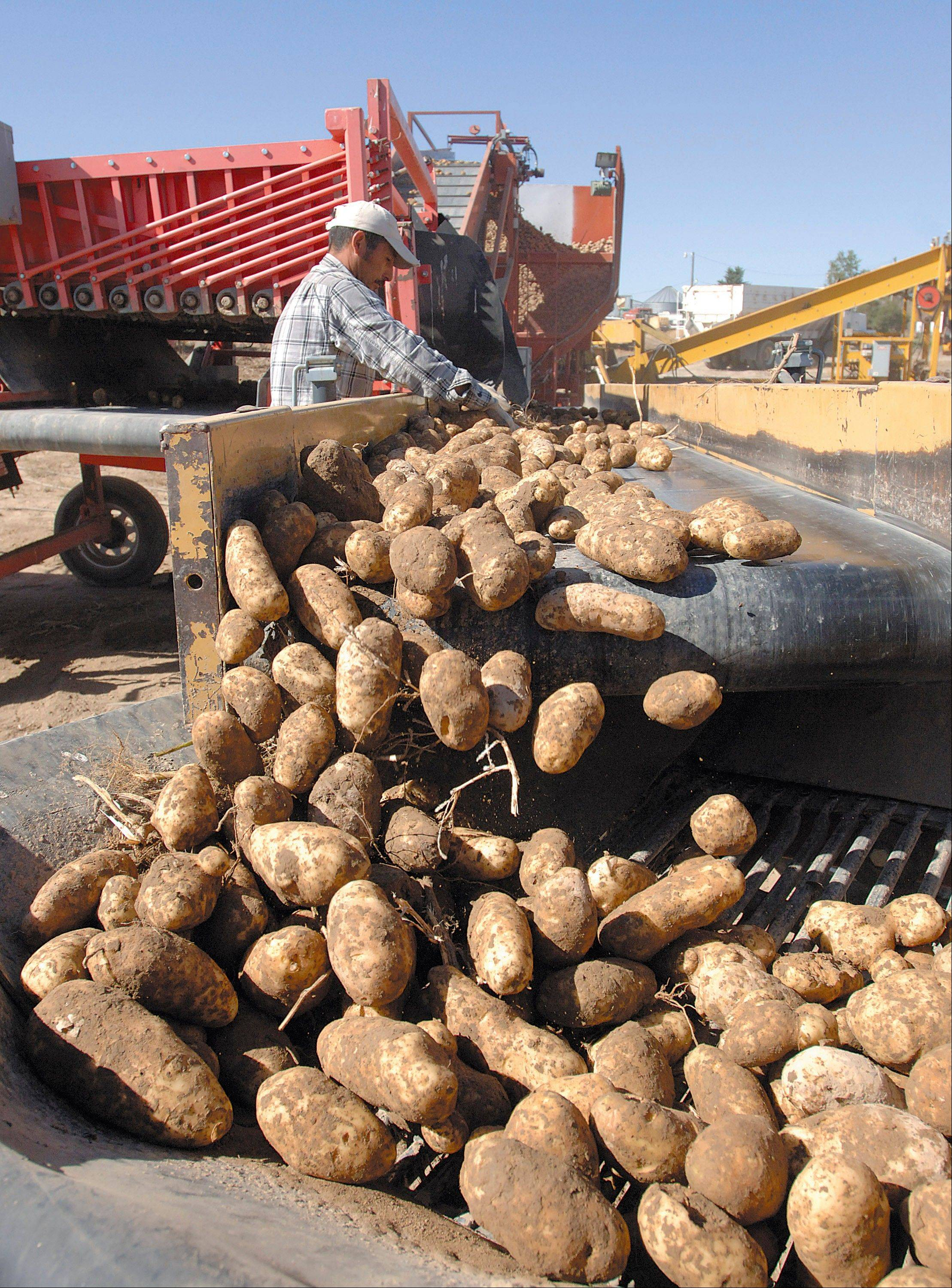 Potatoes are harvested at farm west of Idaho Falls , Idaho, in this September 2010 file photo.