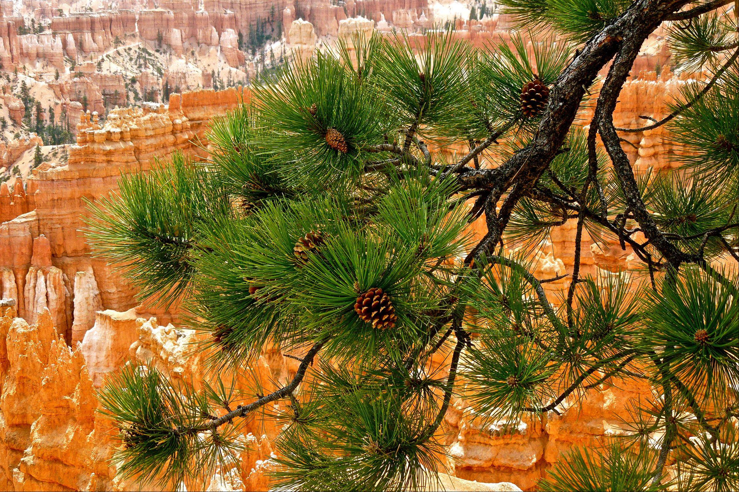 I took this photo while we were at Bryce Canyon national park last month. The green pine tree with its pine cone against the red rock of Bryce is an eye catcher.