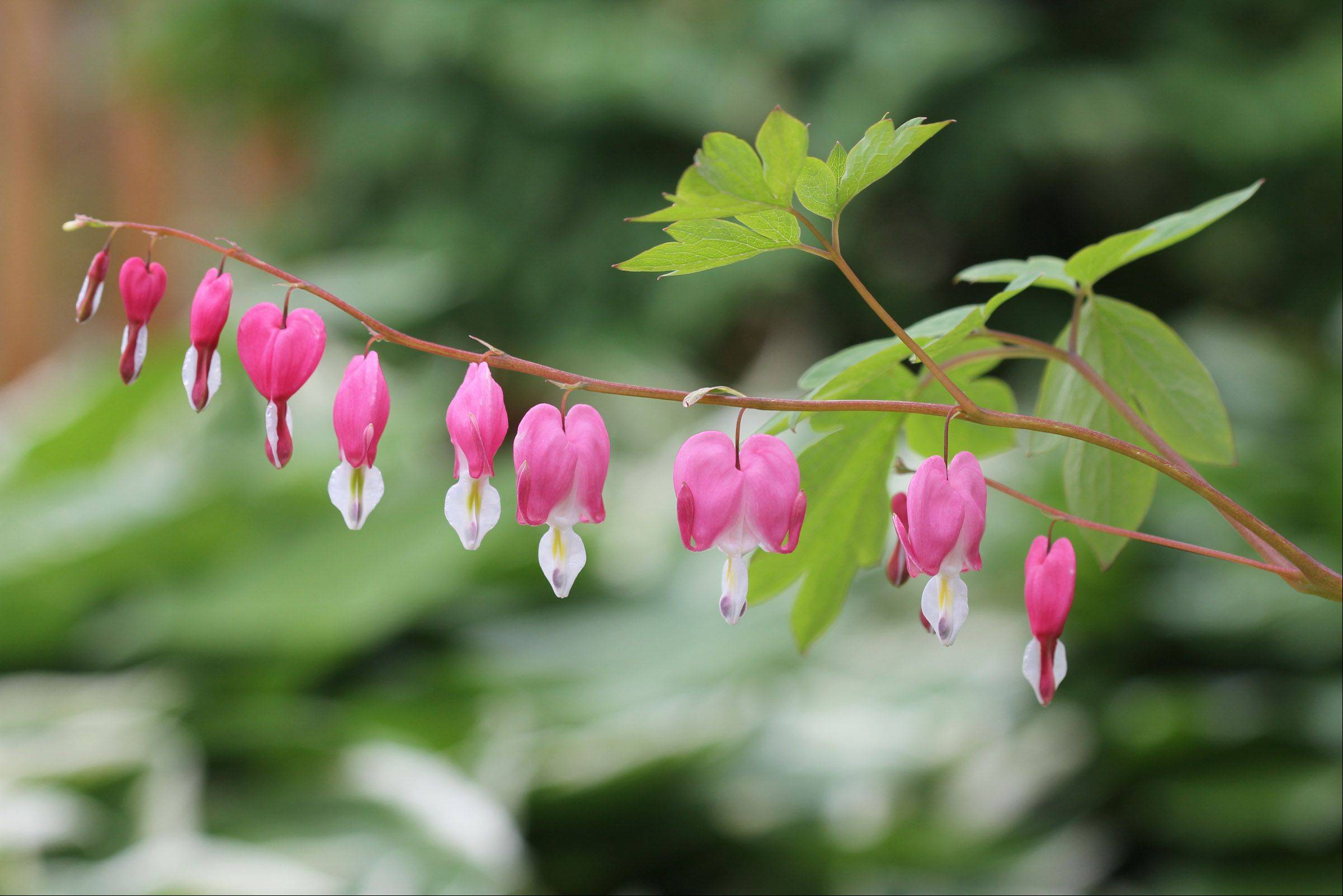 I really love the spring time when the early spring plants are blooming in our yard! These are the blooms from a Bleeding Heart plant.
