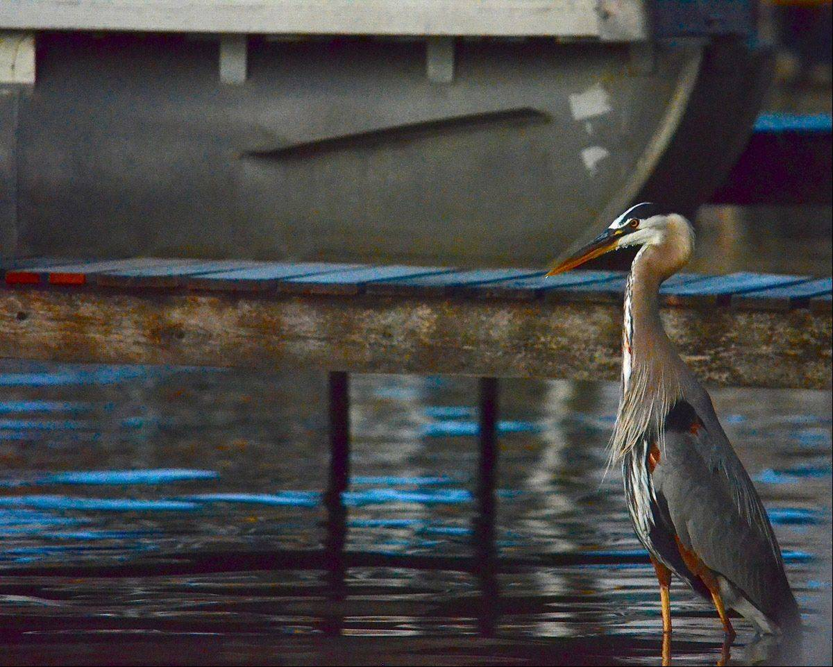 A Blue Heron blends in with the dock, water and the boat this past June on Eagle Point in Fox Lake.