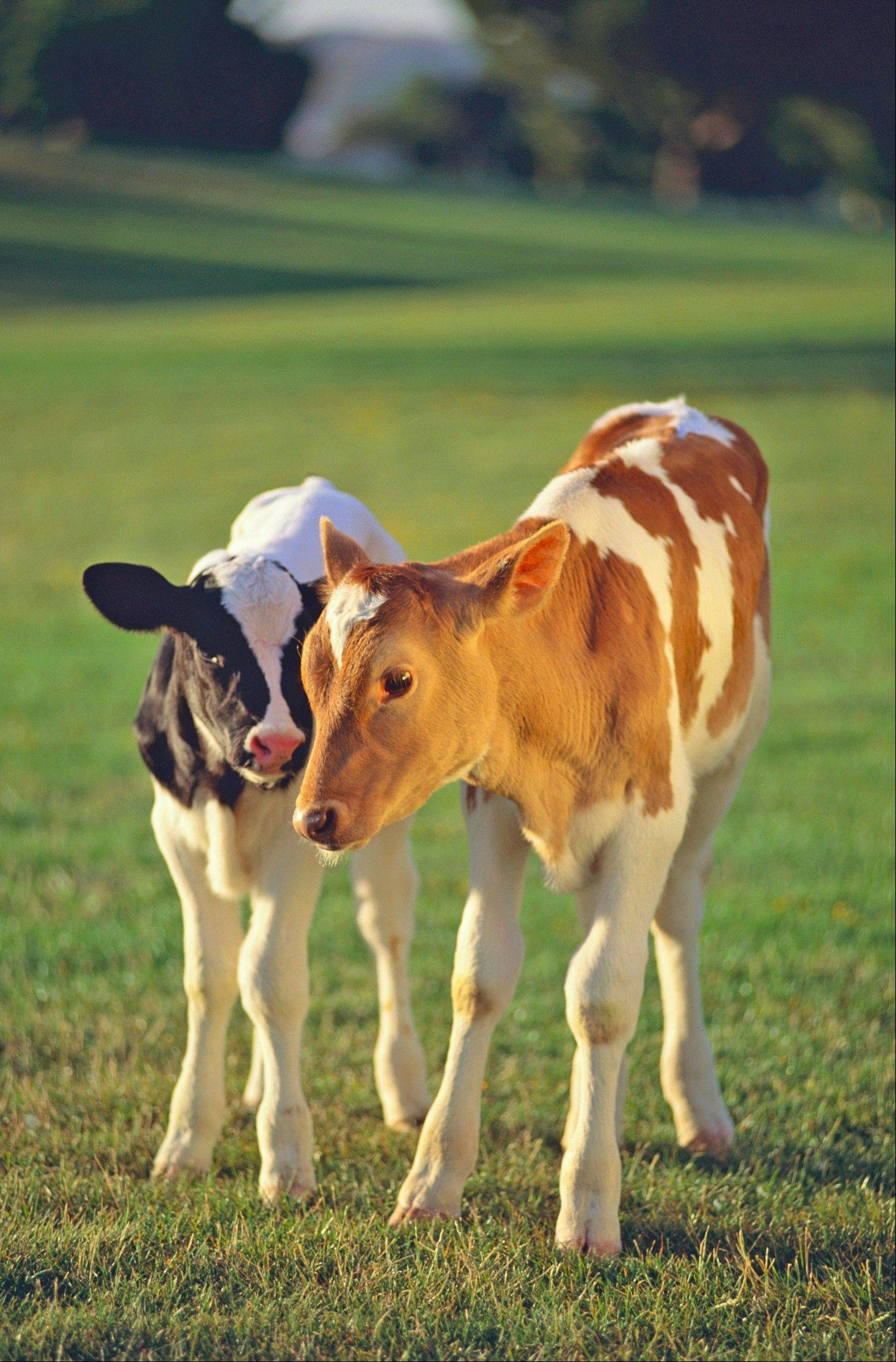 Spend a day in the country, experience the birth of a calf and see how cheese is made. Join the Schaumburg Township District Library for a day trip on Thursday, July 11, to Fair Oak Farm in Indiana. Register now at (847) 923-3347.