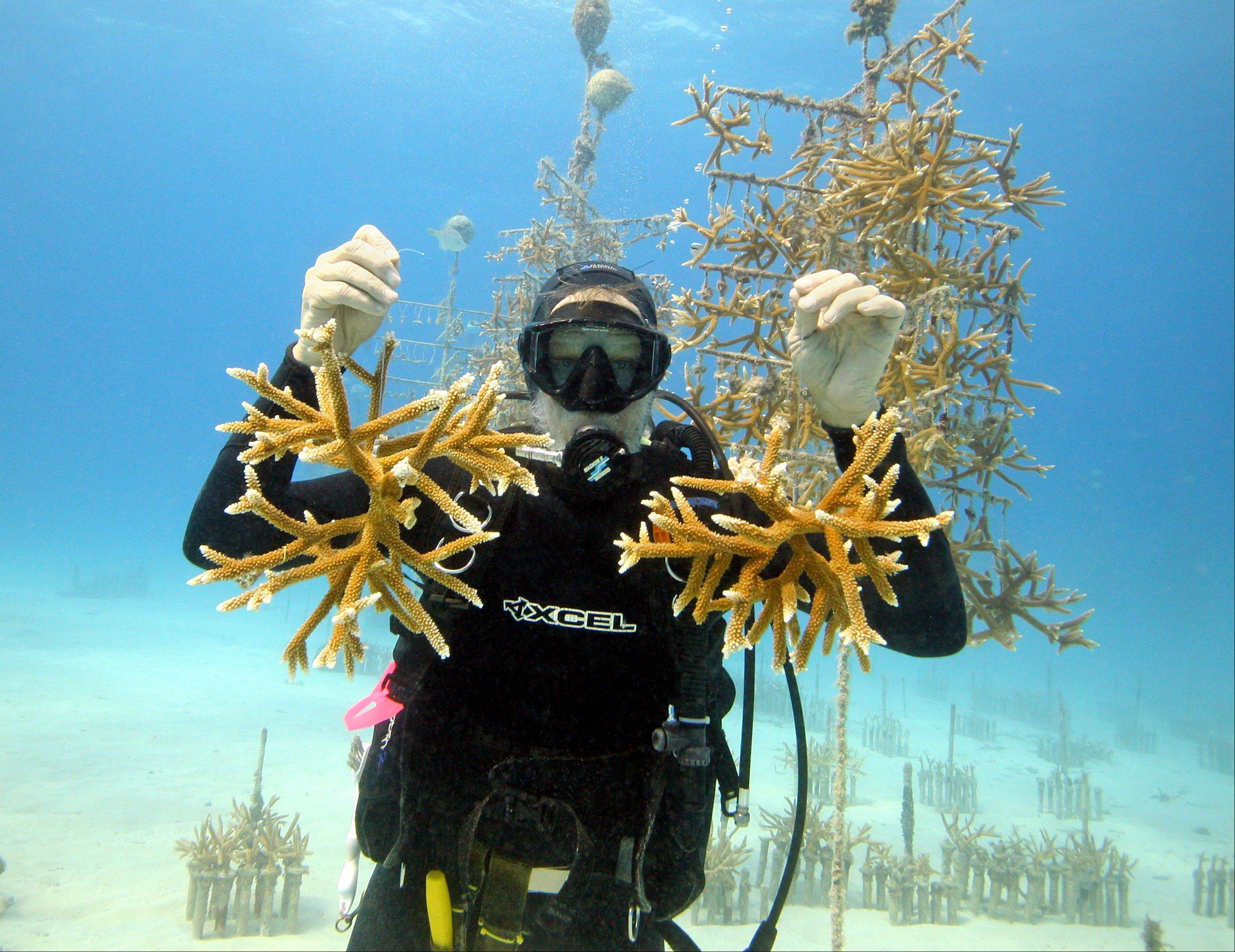 Ken Nedimyer, president of the Coral Restoration Foundation, in the organization�s coral nursery off Key Largo, Fla., with juvenile coral cuttings.