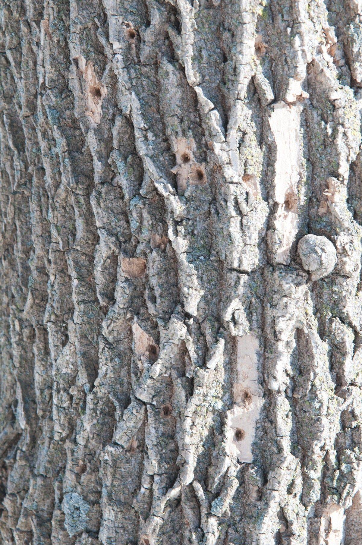 ash tree woodpecker damage