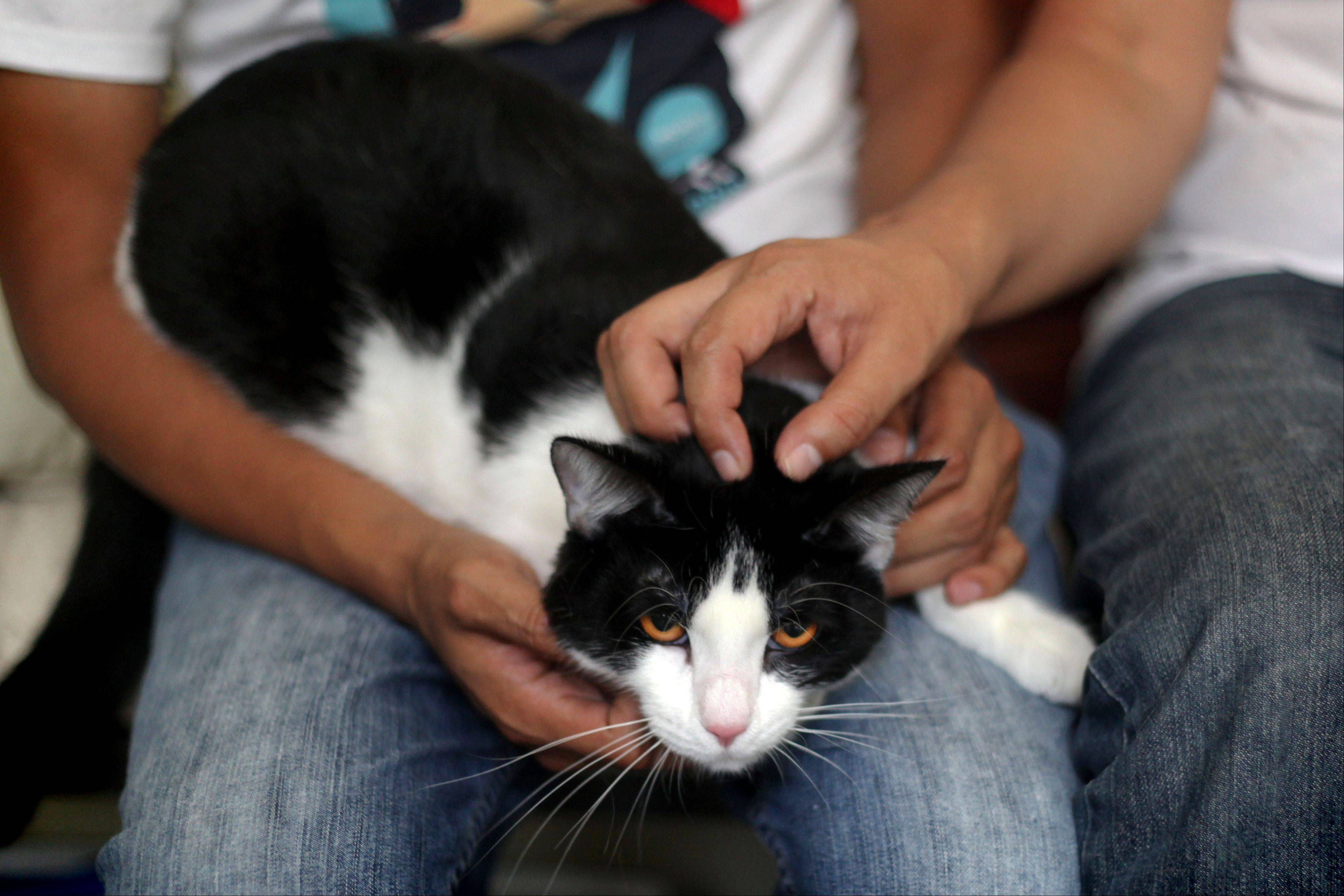 Morris sits Saturday on the lap of Diego Cruz as Sergio Chamorro pets him, at their home in Xalapa, Mexico. Put forth as candidate by Camacho and a group of friends after they became disillusioned with the empty promises of politicians, Morris, a black-and-white cat with orange eyes, is running for mayor of Xalapa in eastern Mexico with the campaign slogan �Tired of Voting for Rats? Vote for a Cat.�