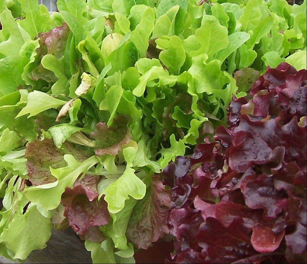 Lettuce is a beautiful companion to pansies in spring and fall