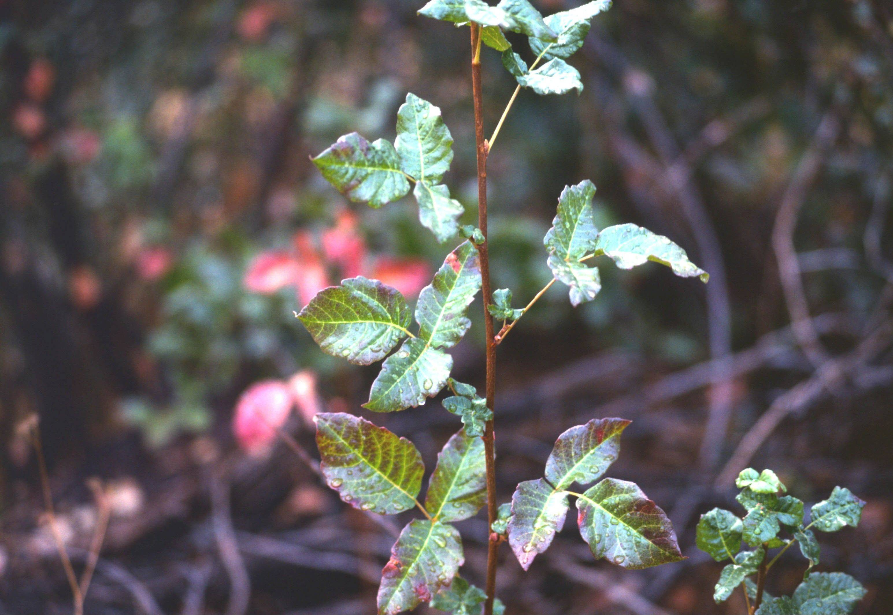 Be careful when coming in contact with poison oak
