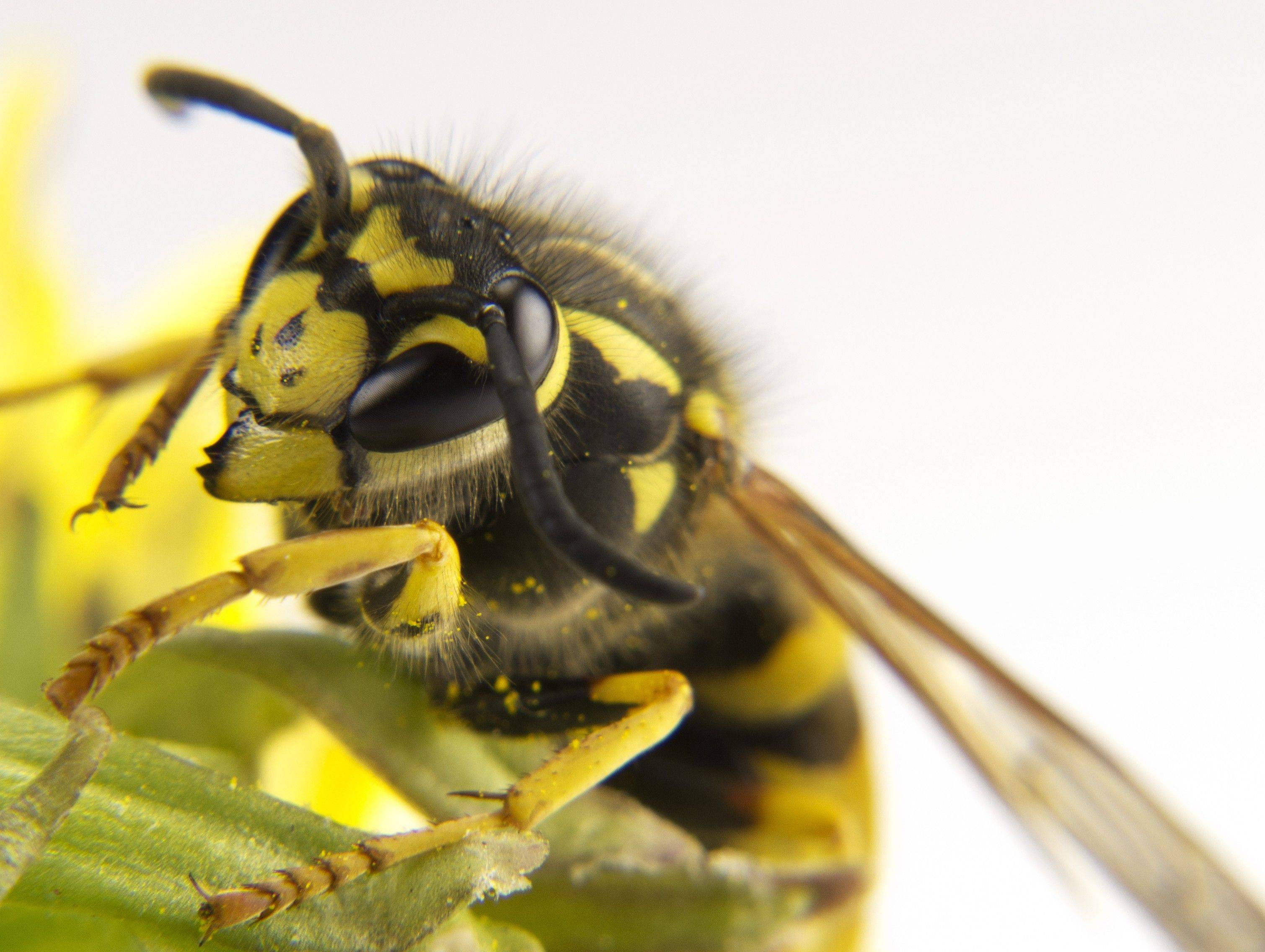 Being stung by a yellow wasp can cause a severe allergic reaction in some people.