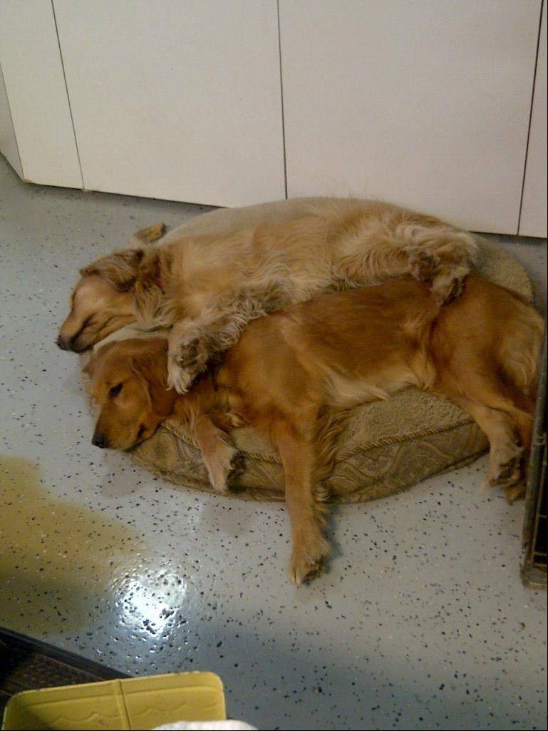 Bailee, on top, lays with Kismet. Family members say the 3-year-old golden retriever was stolen after wandering away from their home in unincorporated Cook County near Palatine.