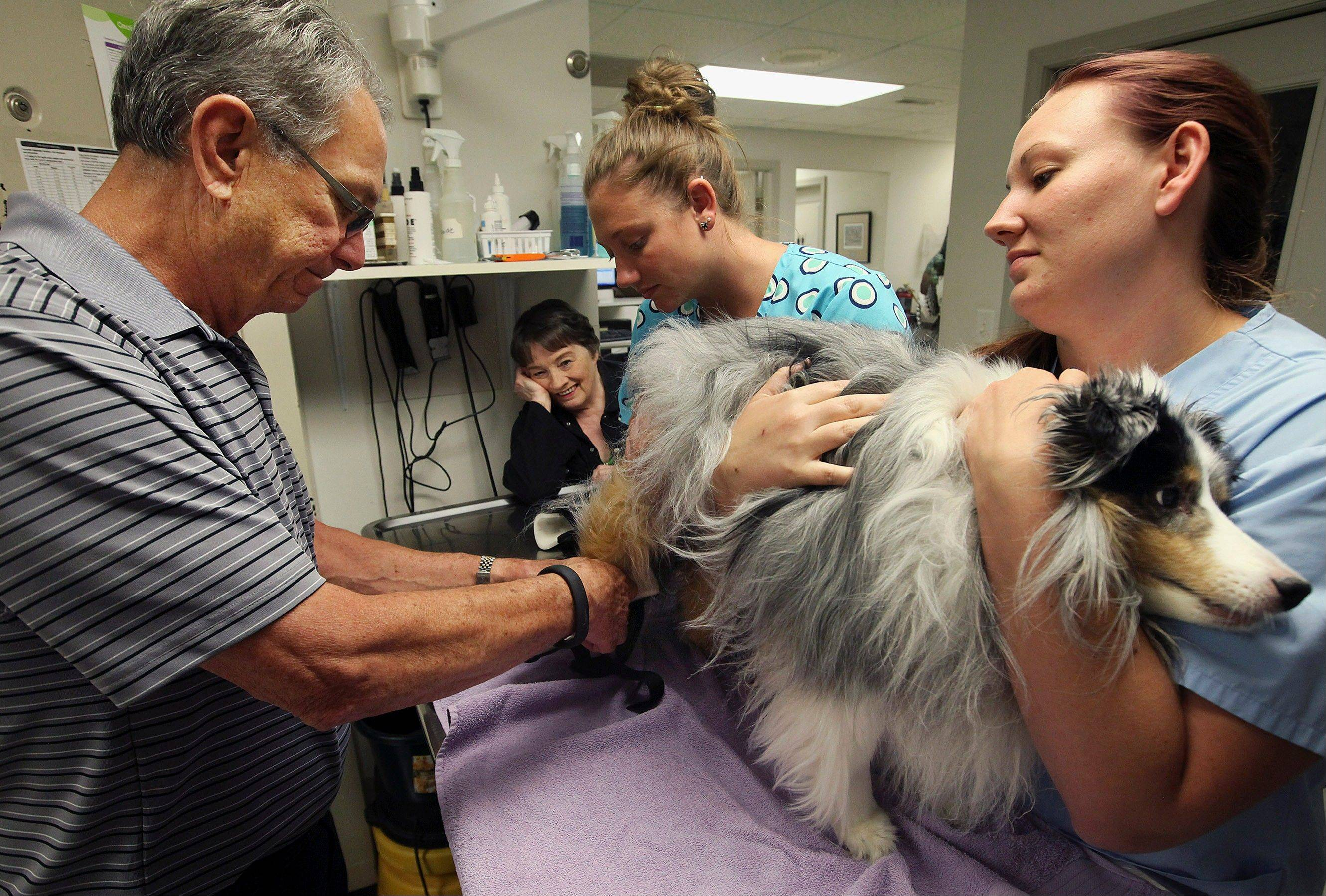 Quincy Herald-Whig Veterinarian Dr. Bob Reich places orthopedic braces on the hind legs of Quincy, an 8-year-old blue merle sheltie, with help from technicians Carilie Wear and Whitney Jansen at the Animal Medical Clinic in Quincy.