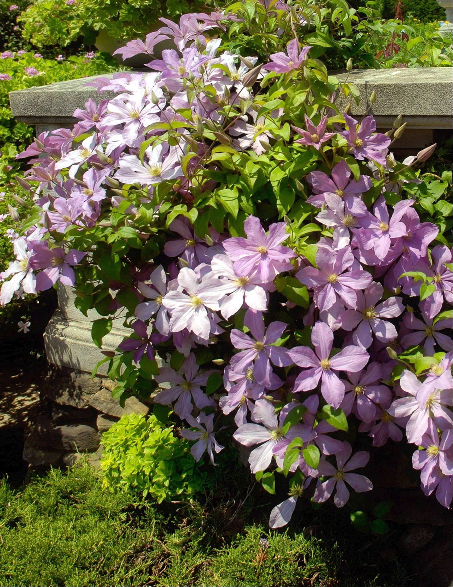 The clematis vine should be monitored to ensure it trains properly on its supports.