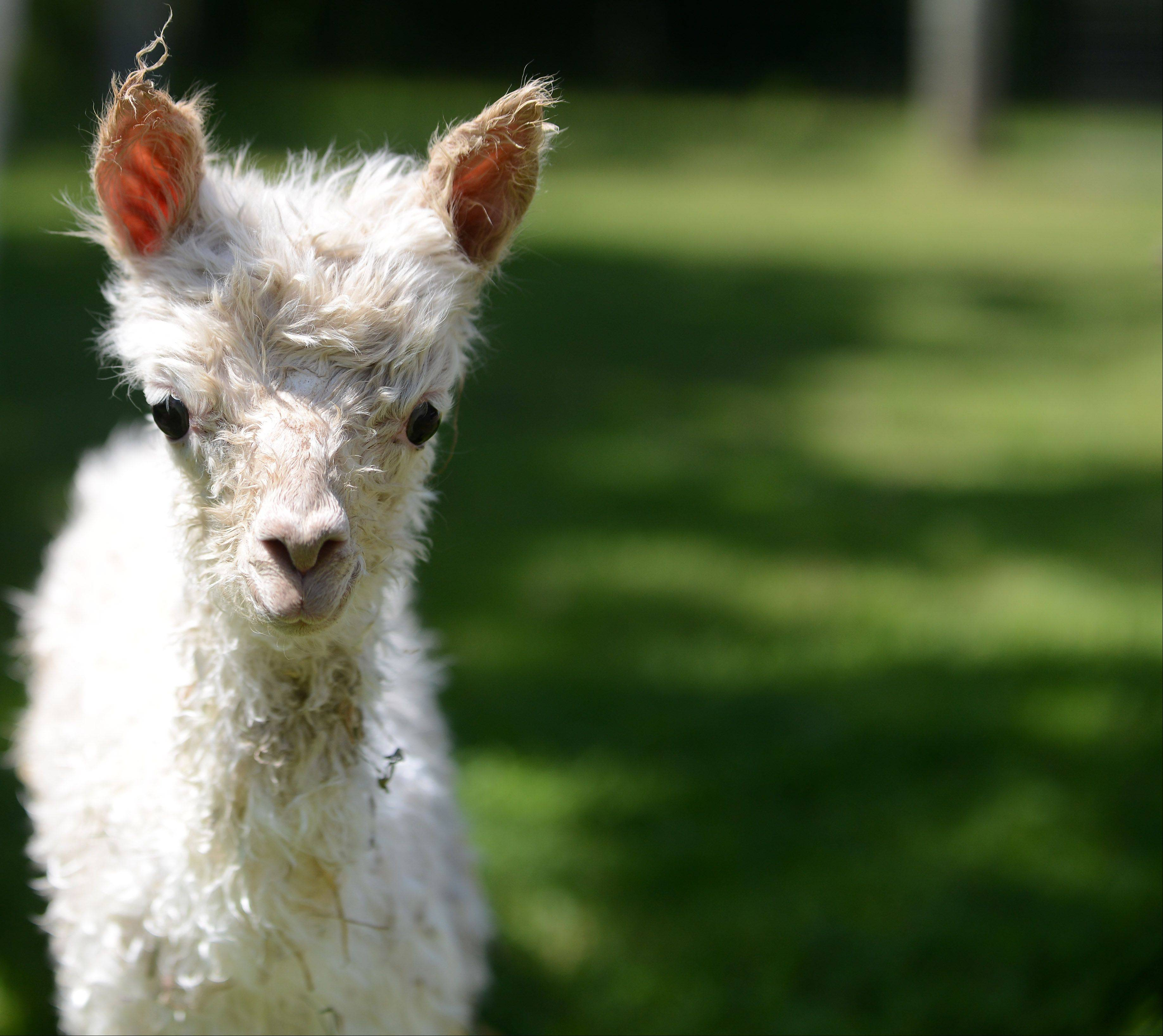 Waldron Grove Alpacas in Campton Hills welcomed a new baby alpaca to the family Tuesday morning.
