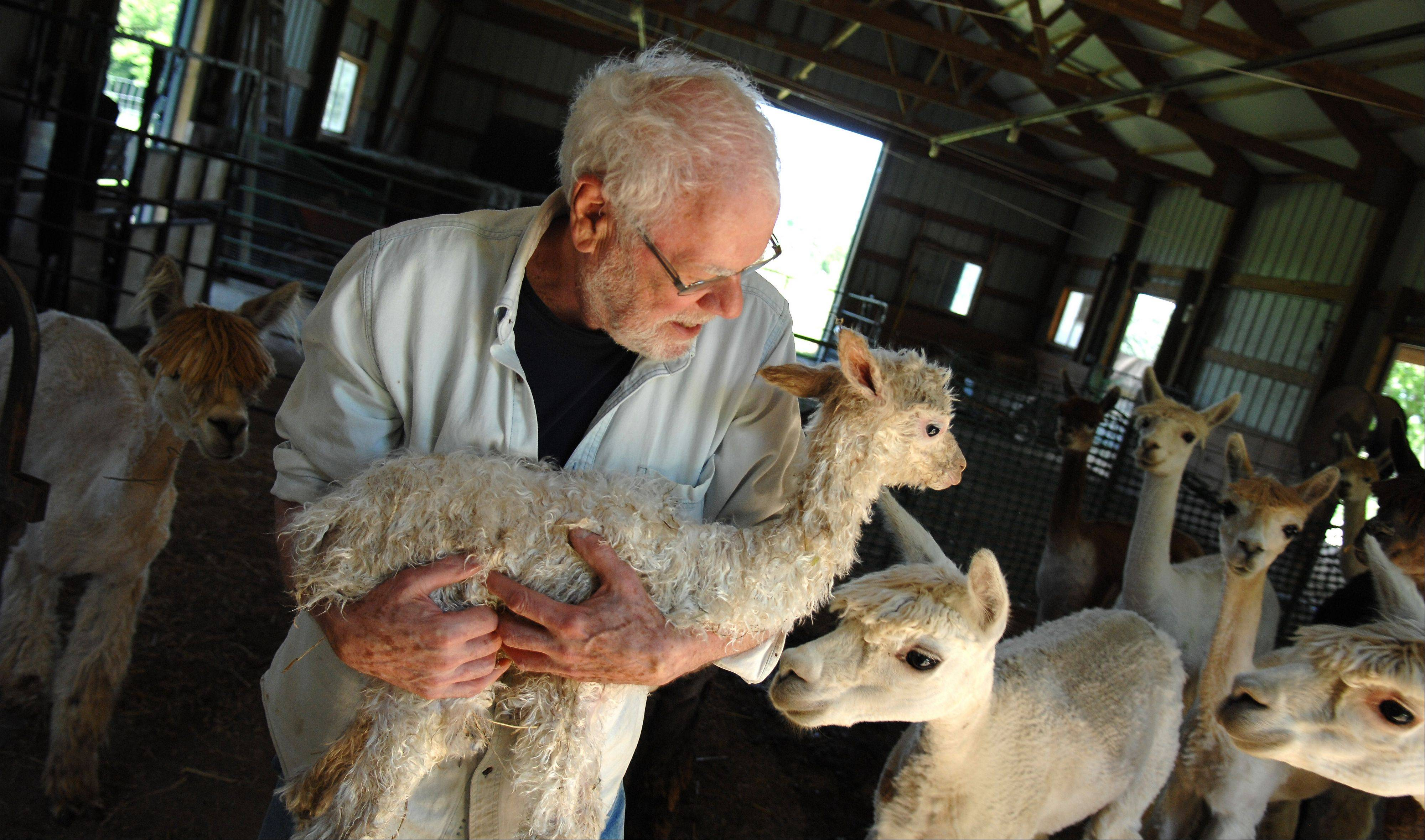 Ron Waldron of Waldron Grove Alpacas in Campton Hills carries a new baby alpaca out of the barn Tuesday.