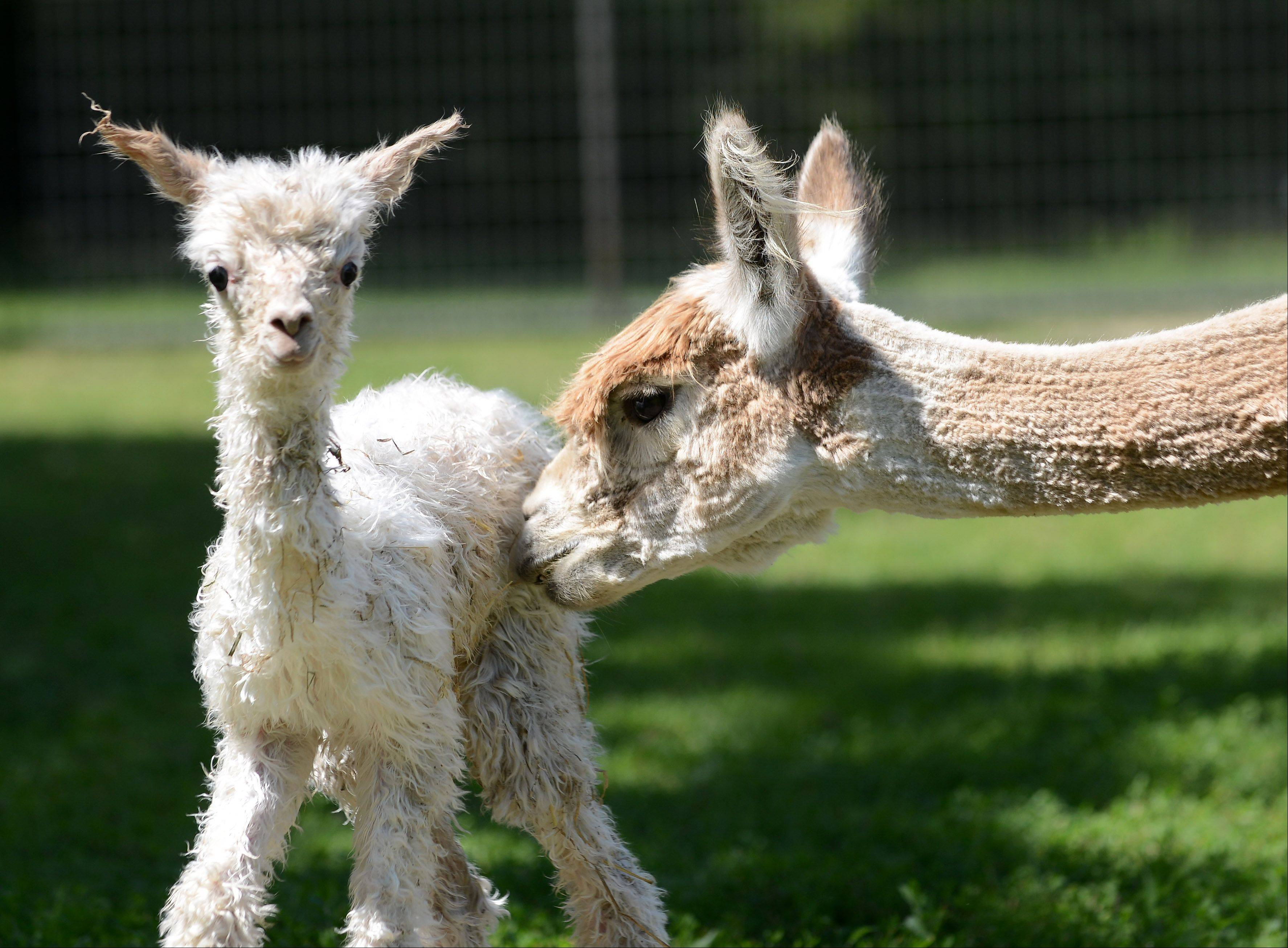 A mother alpaca stays close to her newborn Tuesday at Waldron Grove Alpacas in Campton Hills. The baby was born Tuesday morning.