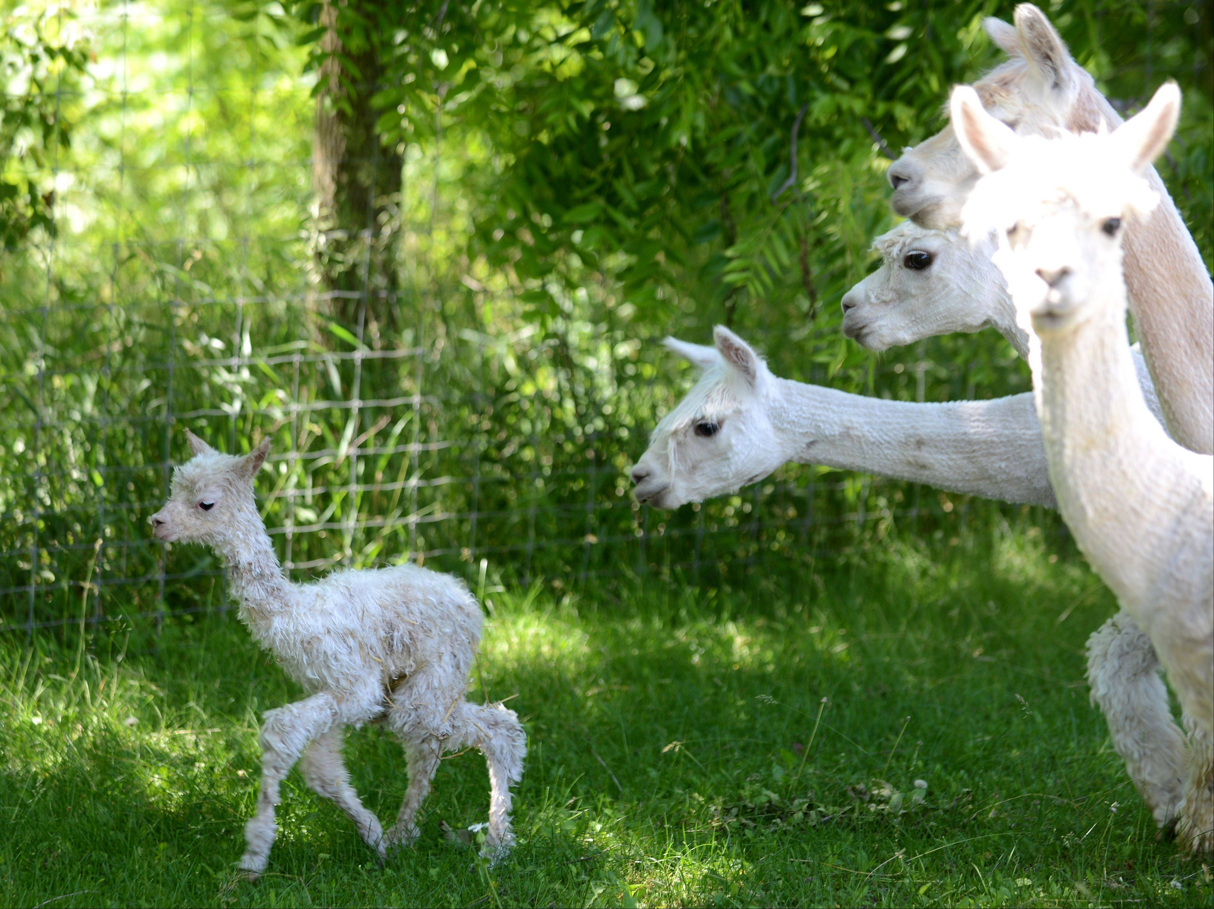 A baby alpaca, just a few hours old, is the center of attention Tuesday at Waldron Grove Alpacas in Campton Hills.