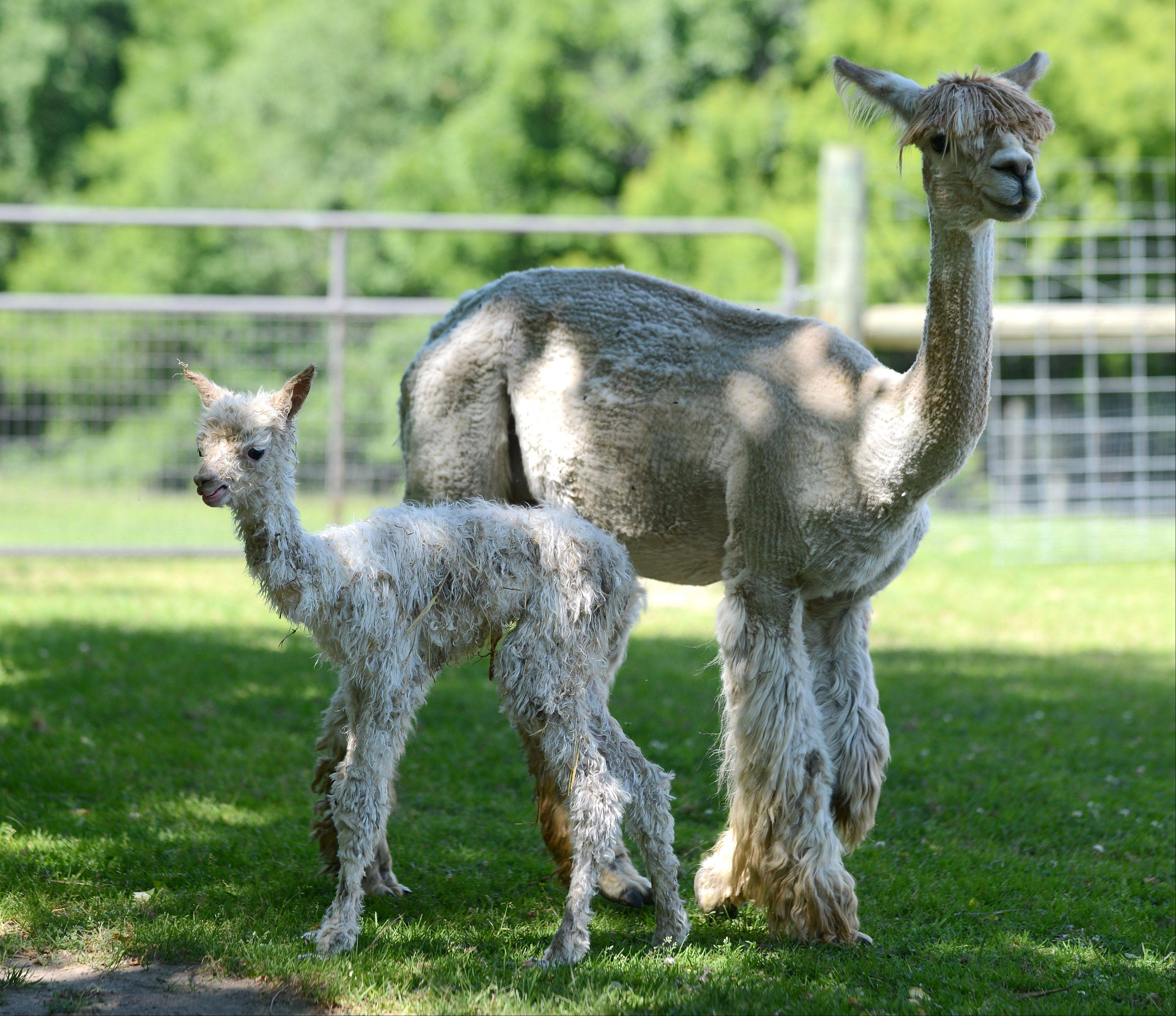 Waldron Grove Alpacas in Campton Hills welcomed a new baby alpaca Tuesday morning.