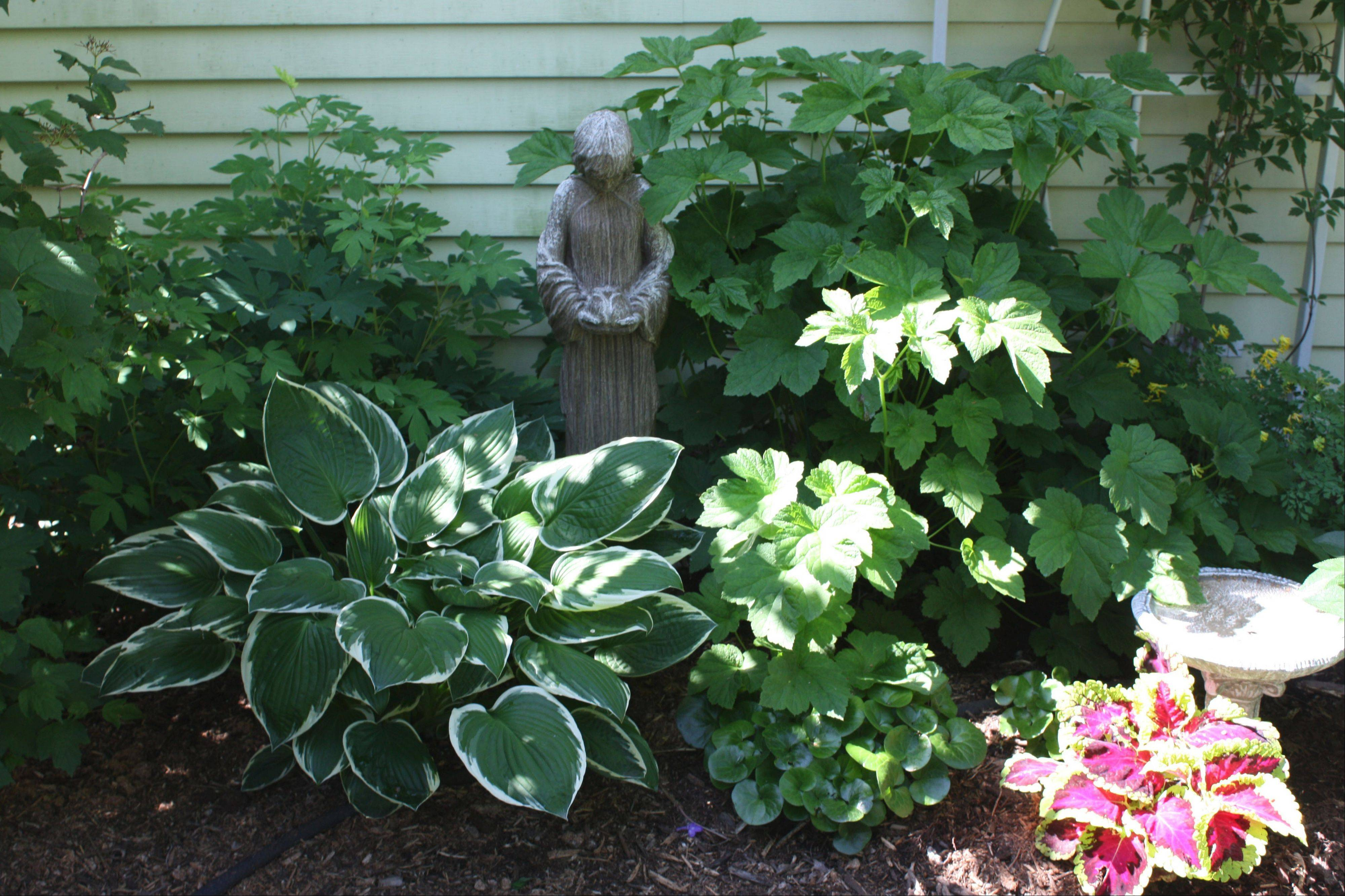 European ginger with its glossy leaf enjoys its spot near a multicolored annual coleus in the Sampsons' Lisle garden. To the right of the statue is Japanese anemone September charm and to the left is bleeding heart dicentra in pink. A variegated hosta, to the left, was original to the house and divided and replanted many times in the yard.
