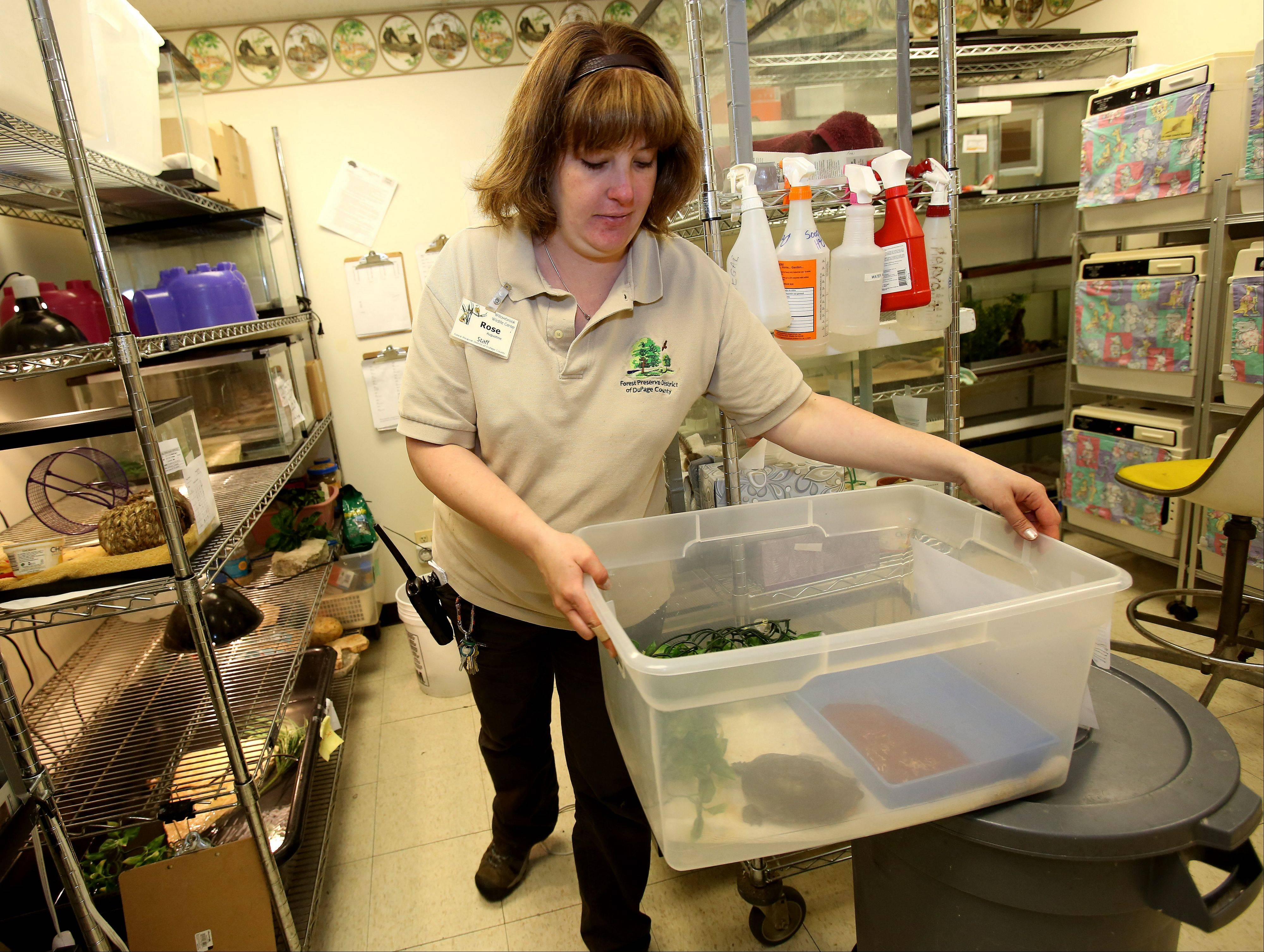 Rose Augustine, wildlife specialist, cares for turtles recovering at the Willowbrook Wildlife Center in Glen Ellyn after being struck by cars, including the painted turtle at right with a damaged shell and a broken leg.