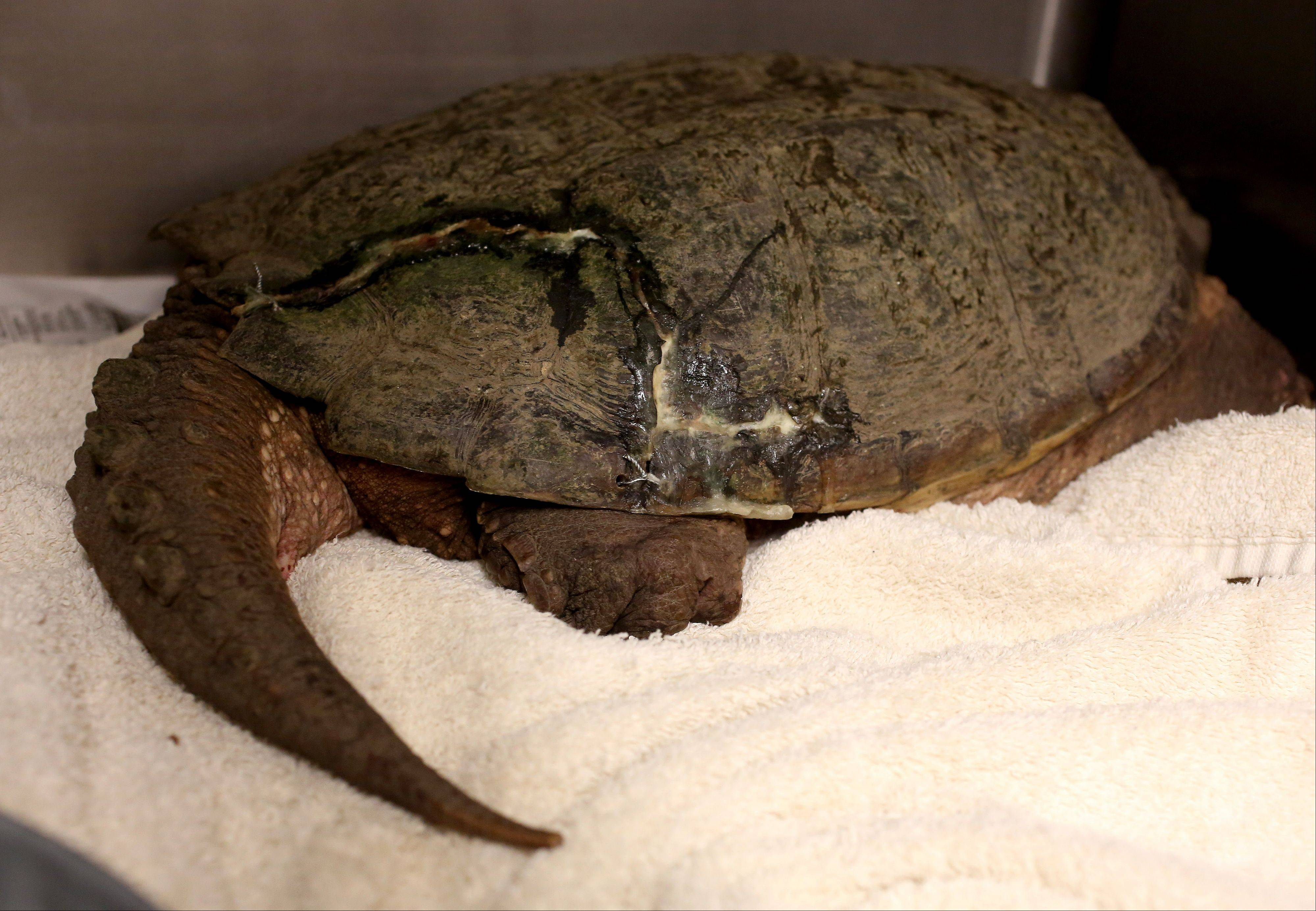 A common snapping turtle that was hit by a car is almost healed and soon will be ready to be rereleased back into the wild.
