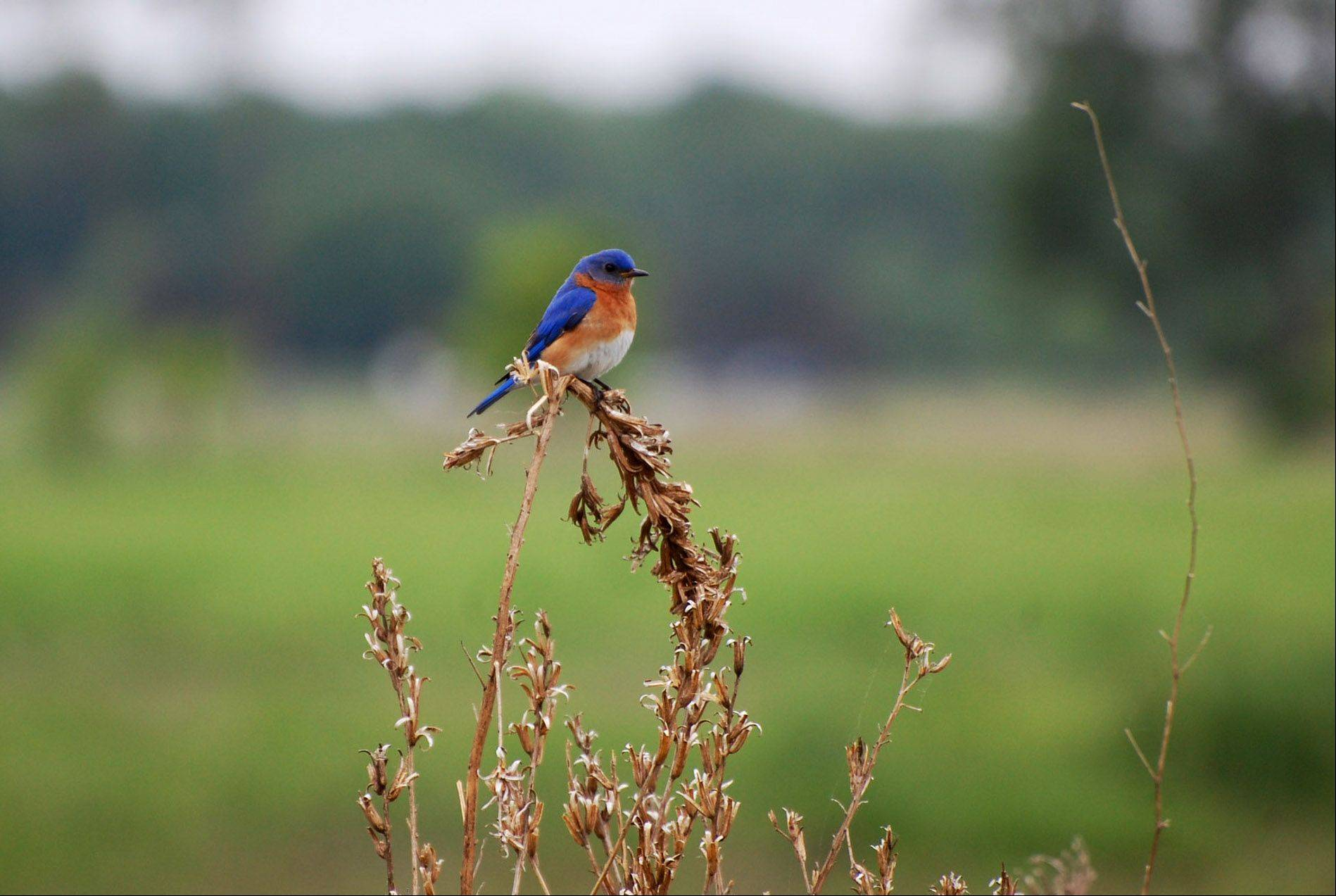 A blue bird sits on a dry plant at McHenry Glacial Park in Ringwood.